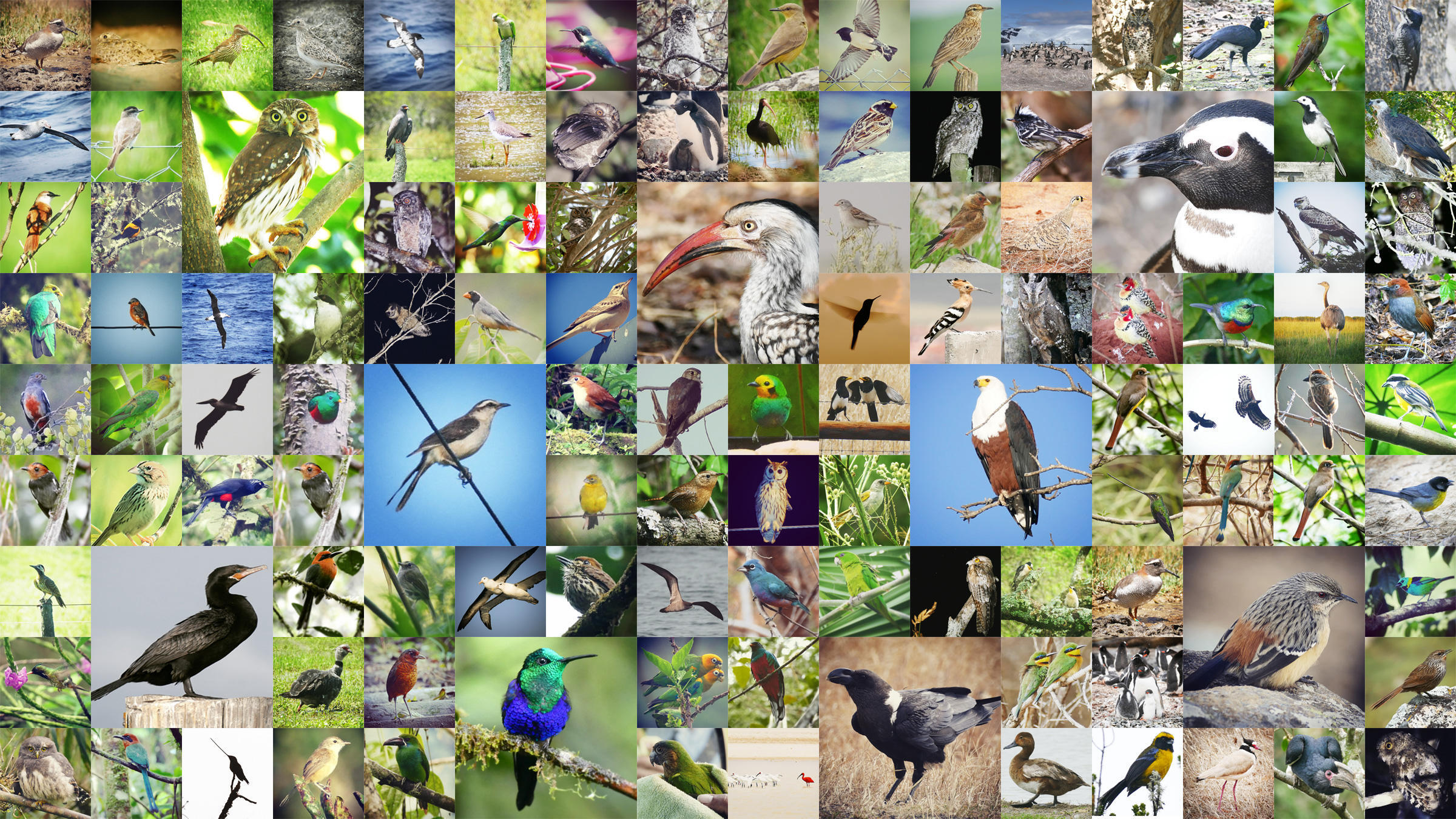 A mosaic of birds found on Noah Strycker's Biggest Year in 2015. Photos: Noah Strycker