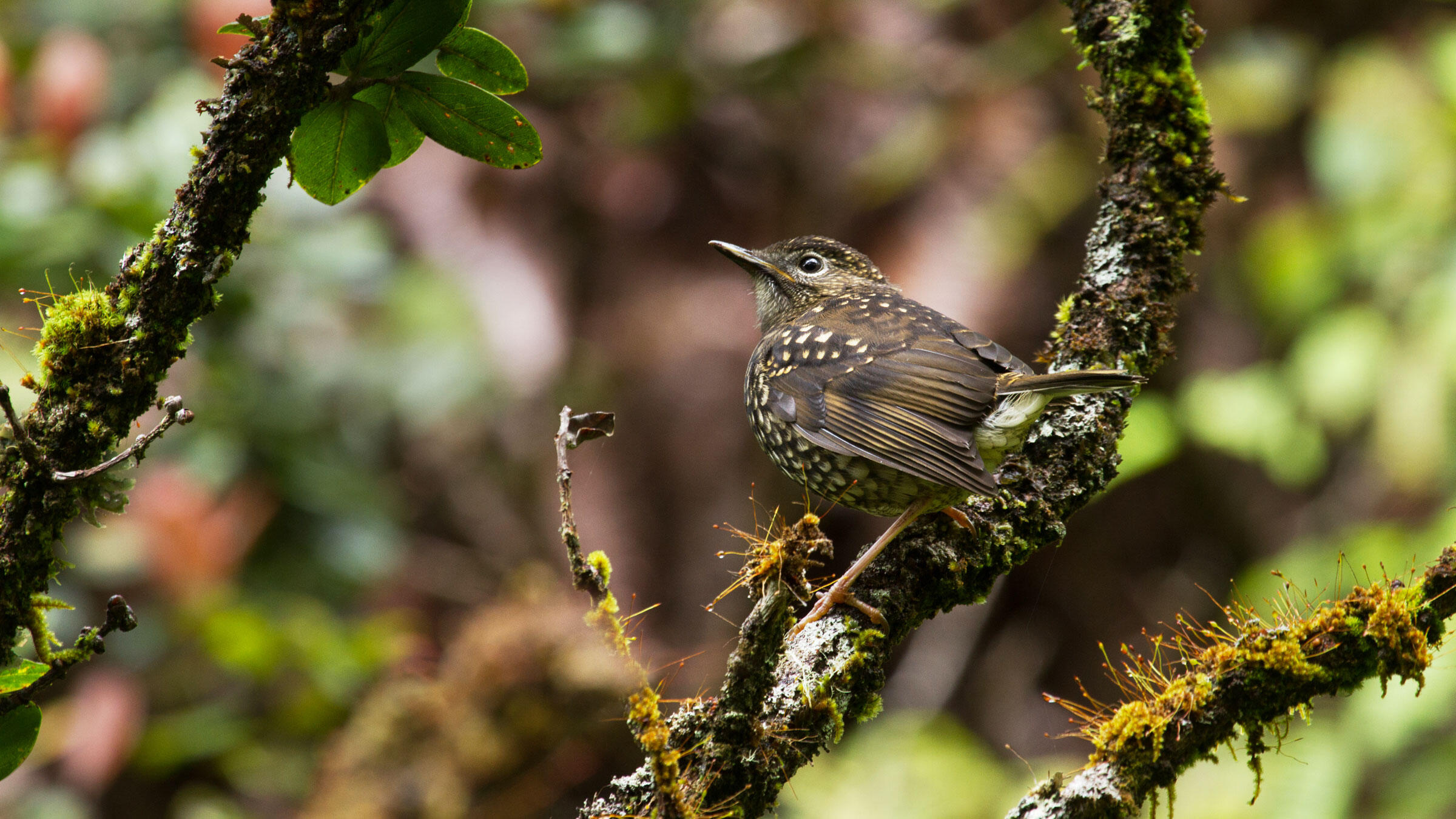 The Puaiohi, a critically endangered thrush found on Kauai, could lose all of its habitat by the end of the century, a new study shows. Robby Kohley