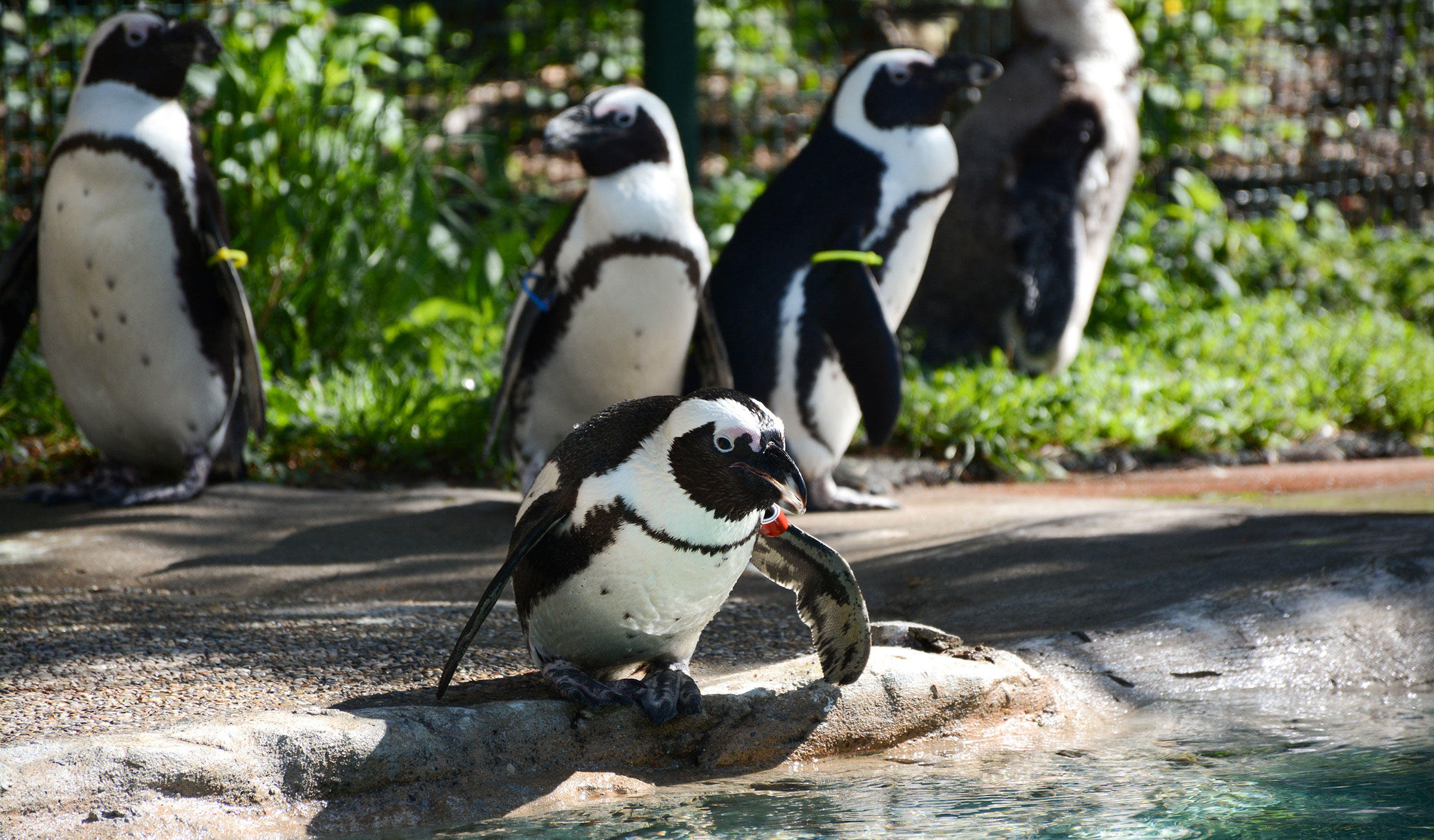 The flock of African Penguins at the Children's Zoo at Celebration Square in Saginaw, Michigan. One rejected member is now headed to a new zoo, where she can hopefully get a second chance at love. Courtesy of the Children's Zoo at Celebration Square