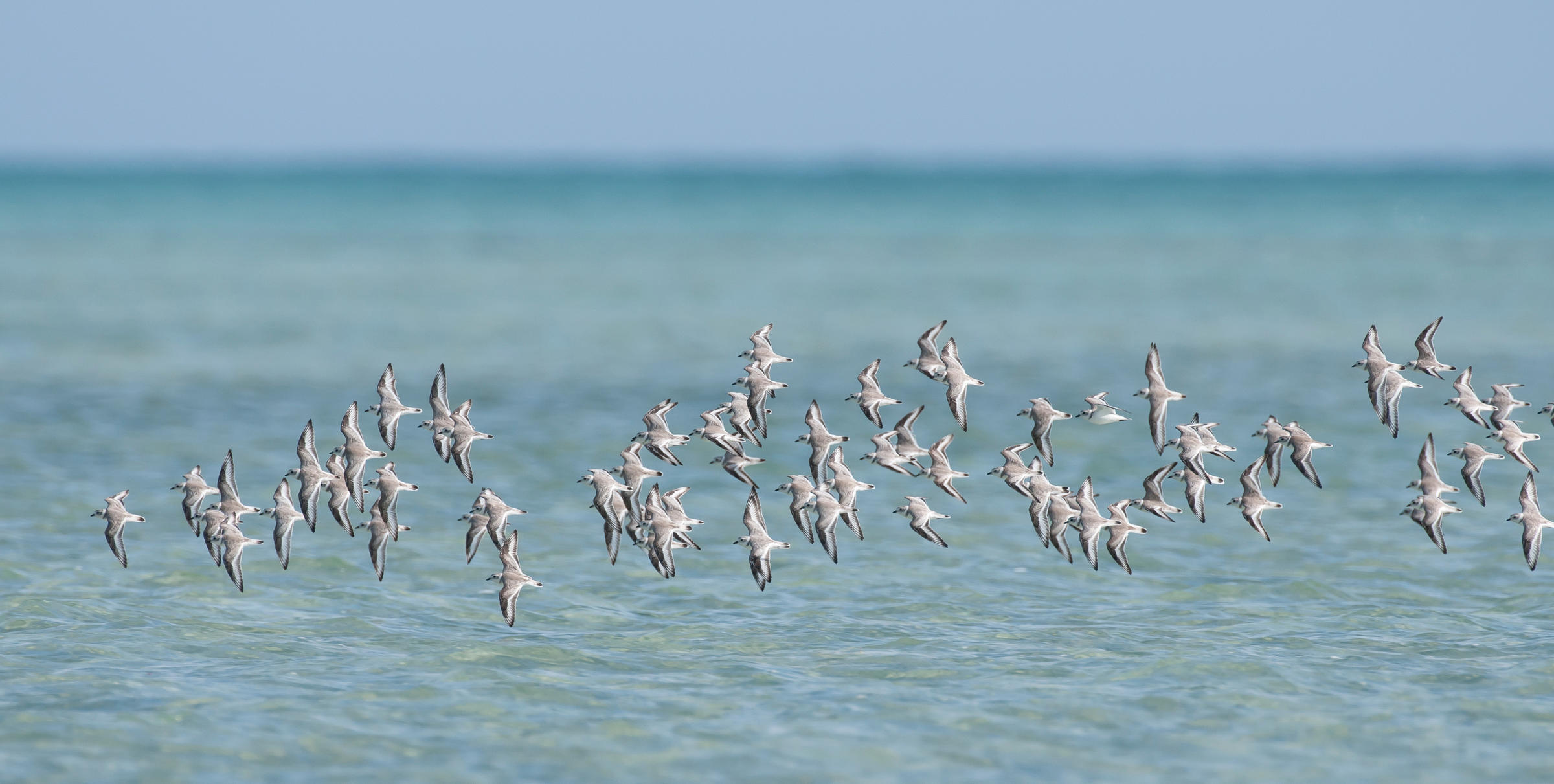 Piping Plovers. Walker Golder/Audubon
