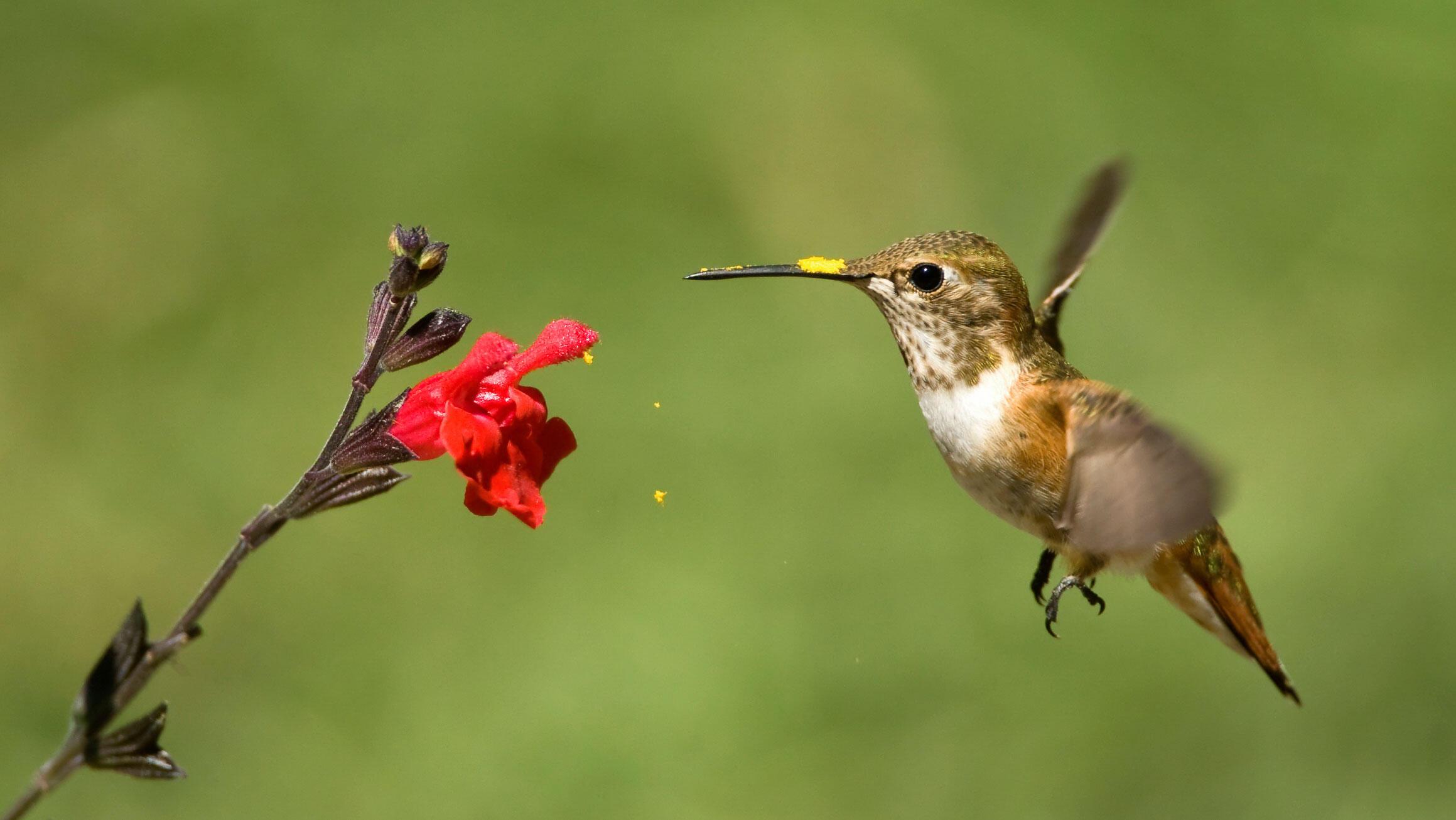 Rufous Hummingbird. Stan Tekiela/NatureSmart.com