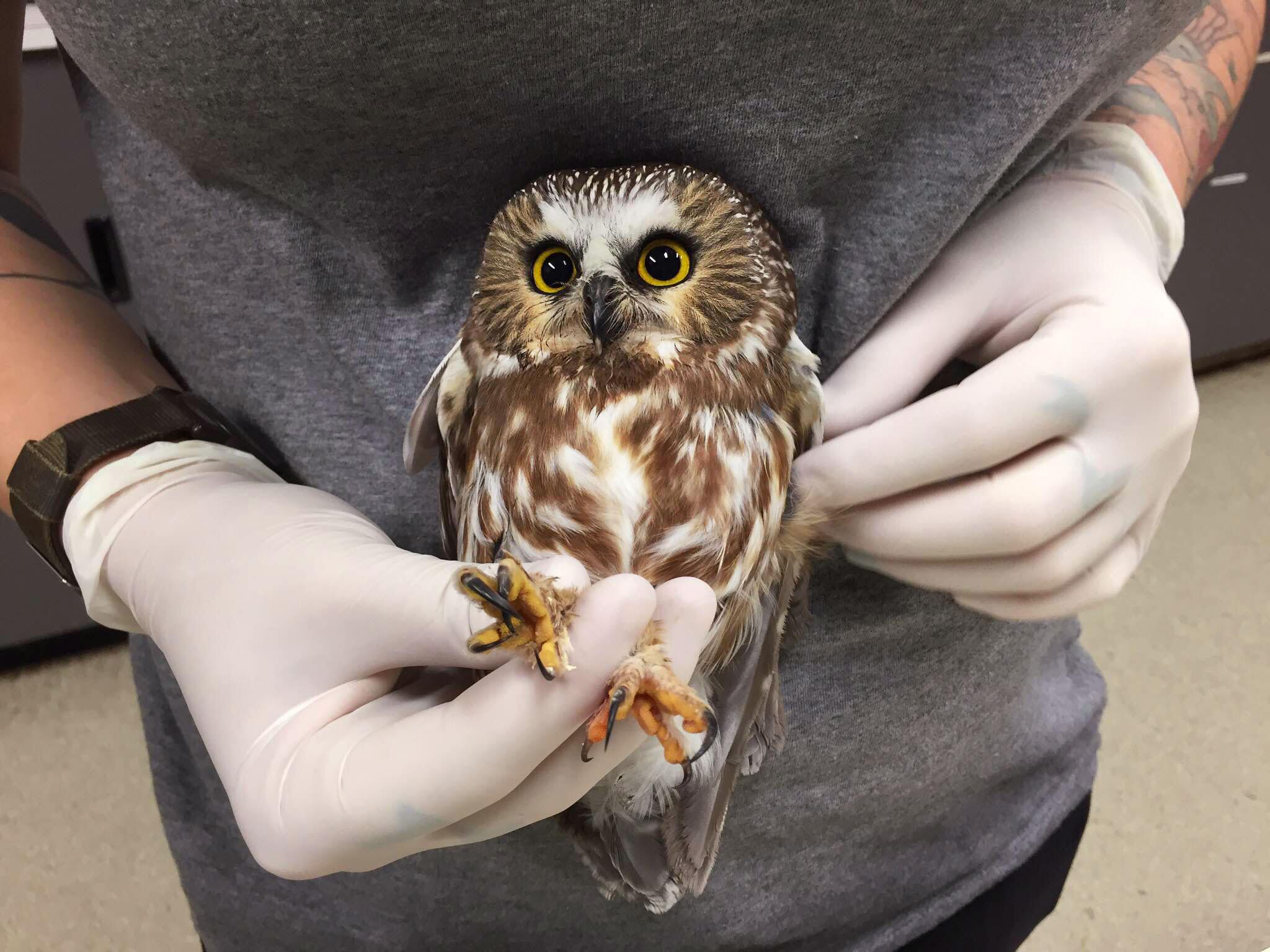 Northern Saw-whet Owl. Photo: Courtesy of Audubon Society of Portland