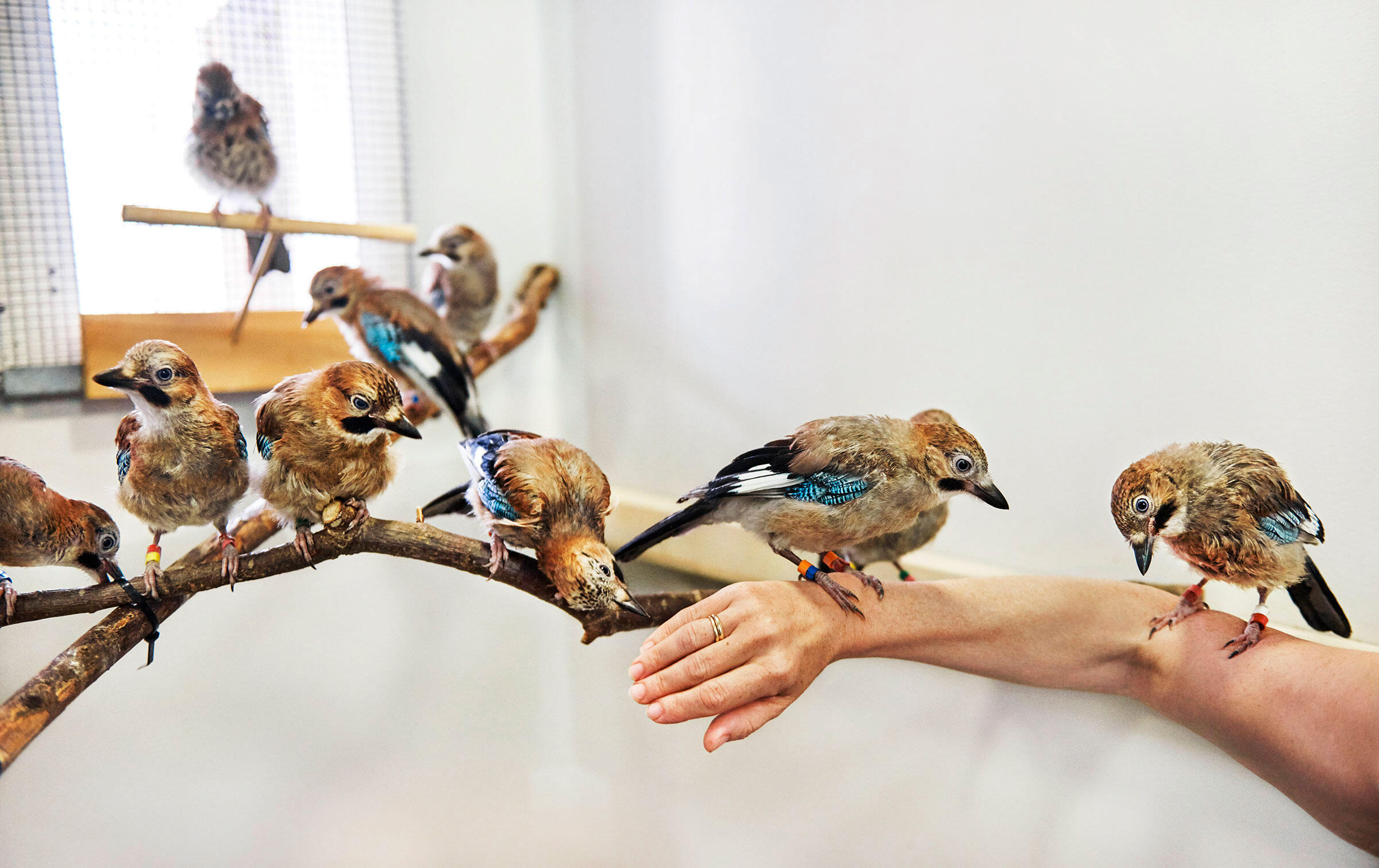 Eurasian Jays have long been counted among the world's smartest corvids, and they are expert mimics. Another impressive finding: They possess the ability to empathize with others. Trevor Ray Hart