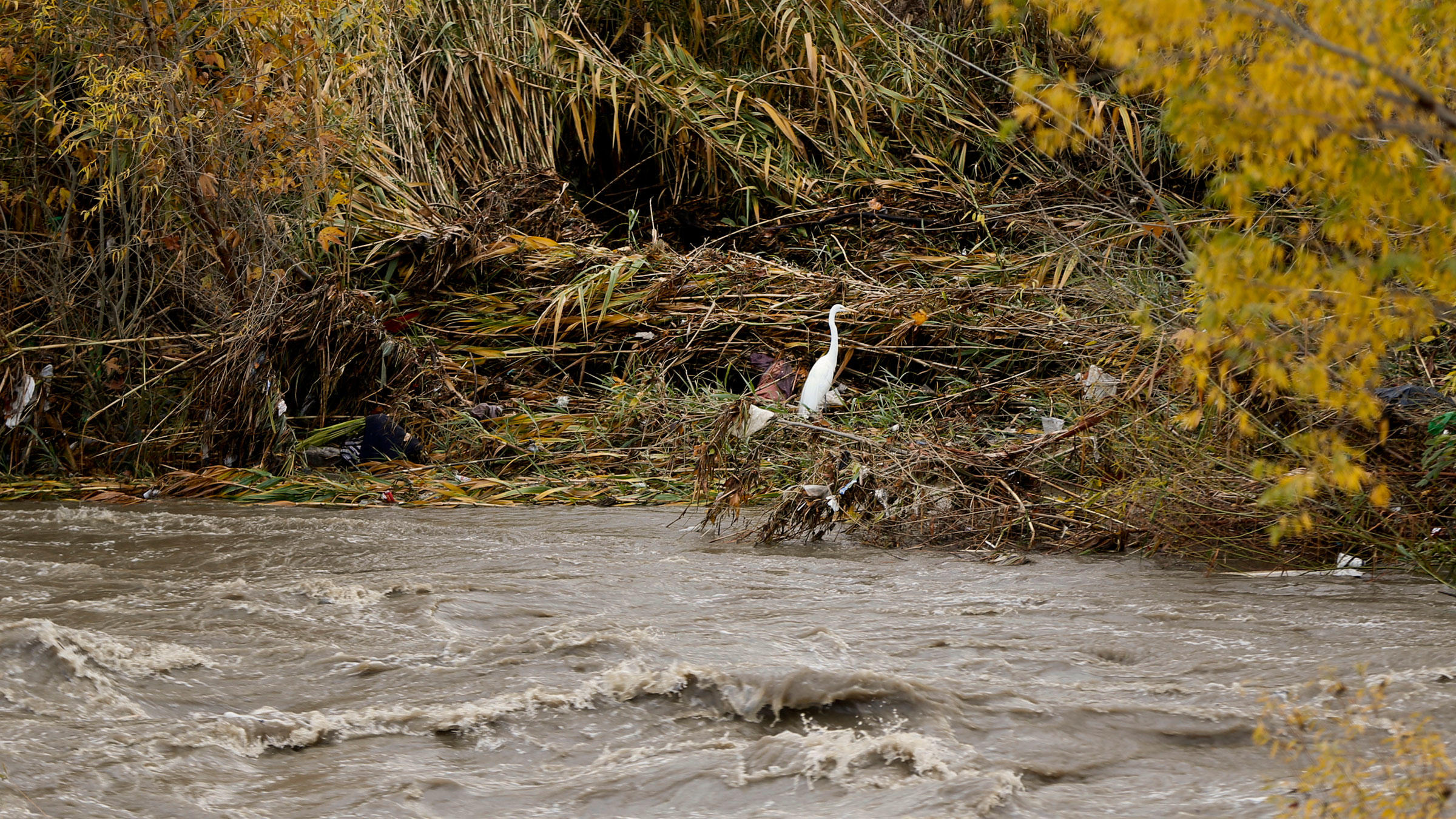A Great Egret beside the Los Angeles River after torrential rains this month. Severe flooding, wildfires, mudslides, tornadoes, and droughts have been affecting many parts of the world. Damian Dovarganes/AP
