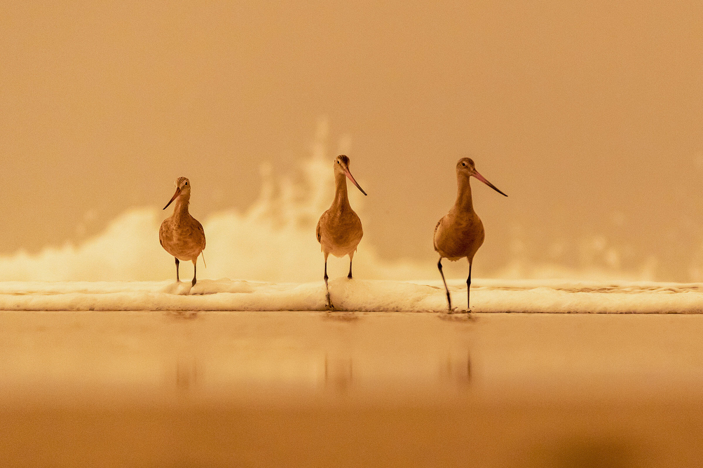Three Marbled Godwits, which are large shorebirds, walk in the surge. The image takes on an orange hue, including the birds, due to wildlife smoke. The birds look purposeful and determined as they stride toward the camera.