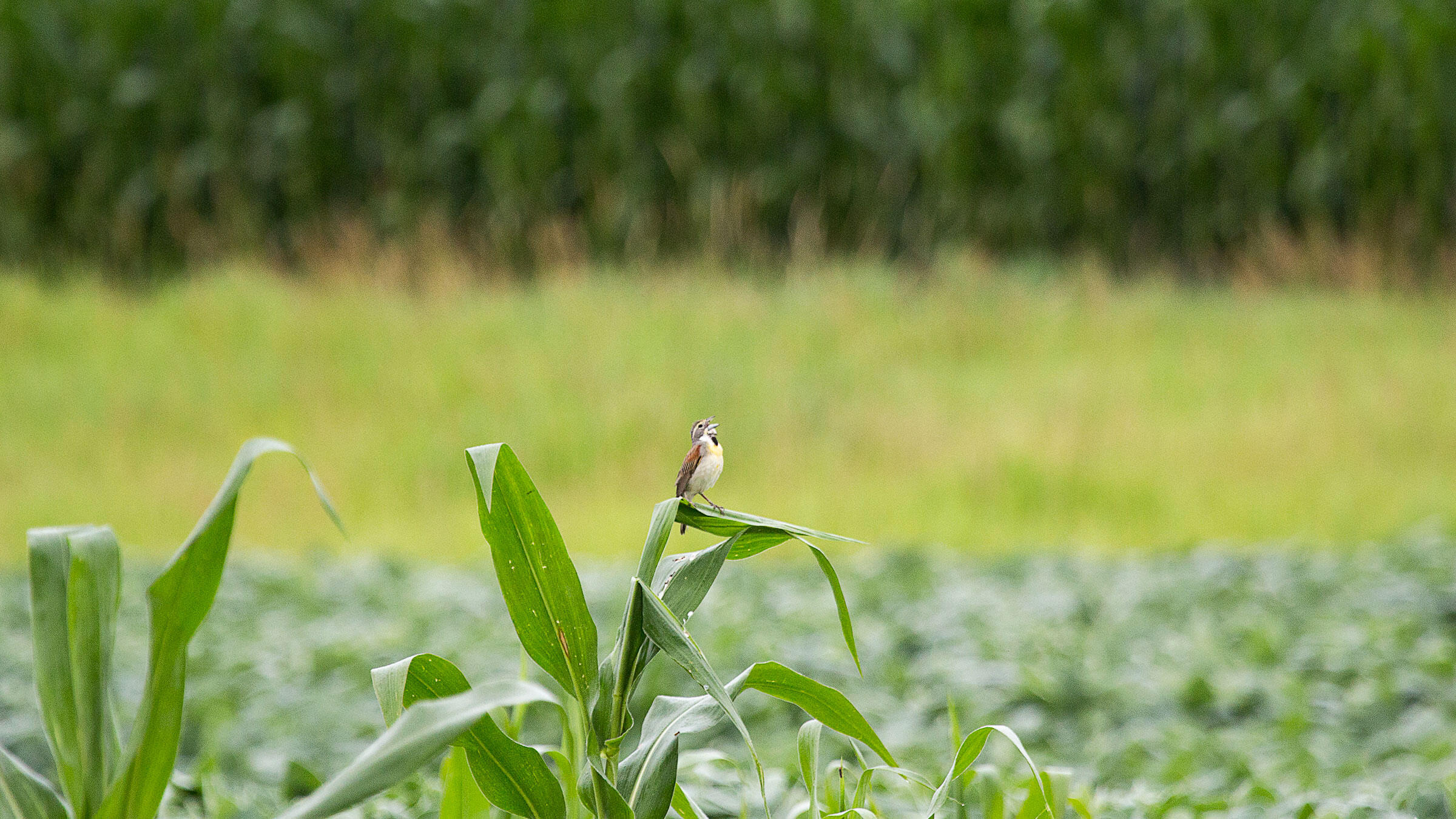 Study plots at the Neal Smith National Wildlife Refuge have shown that strips of native prairie embedded within monoculture farm fields can support Dickcissels and other grassland birds. Matt Stephenson
