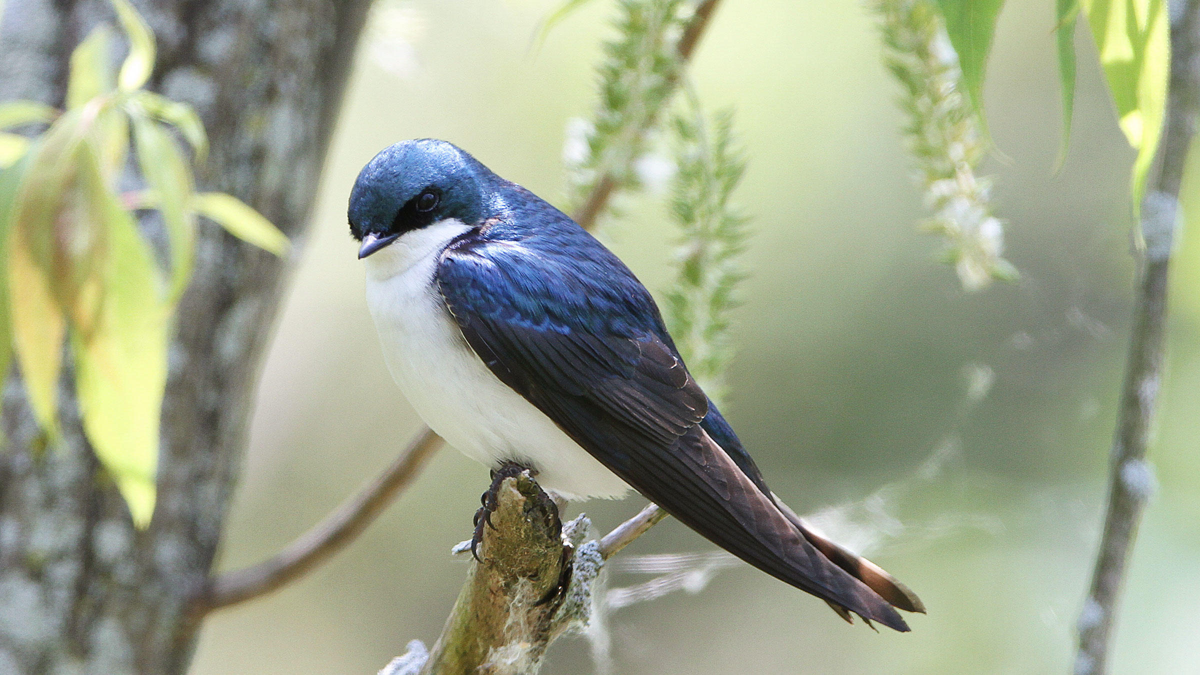 Tree Swallows spend the winter farther north than other related species. But they might start relocating as soon as they're encouraged by mild weather. Kenn Kaufman