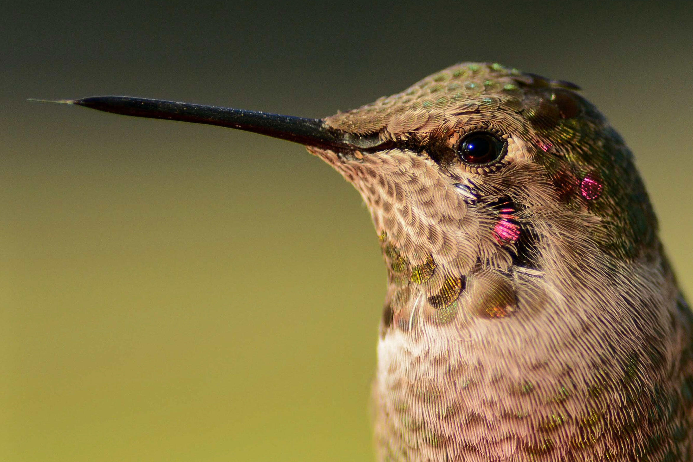 Forget what you've heard about bird brains; this Anna's Hummingbird has a unique brain that lets it hover and zoom about. William Overman/Audubon Photography Awards