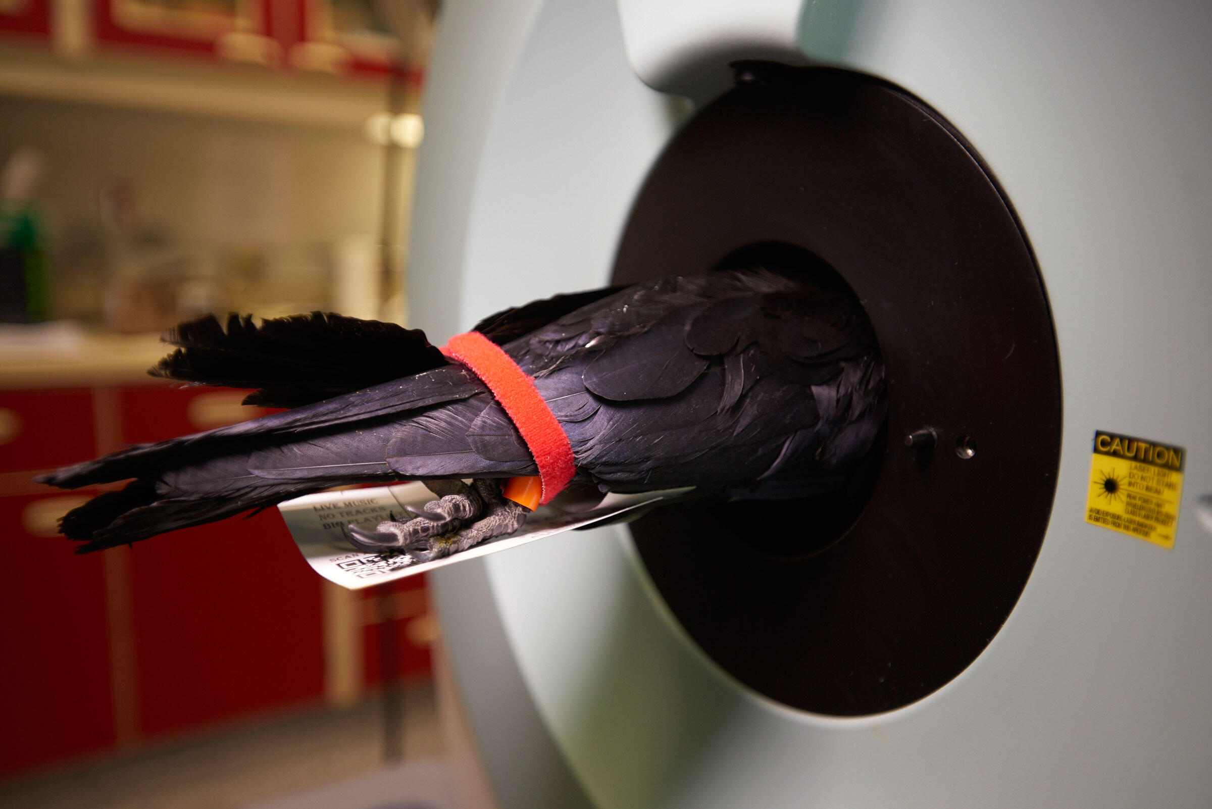 An anesthetized crow enters a PET scanner in a lab at the University of Washington. The bird's welfare is always paramount; here the straps keeps its wings from getting caught in the platform. Andy Reynolds