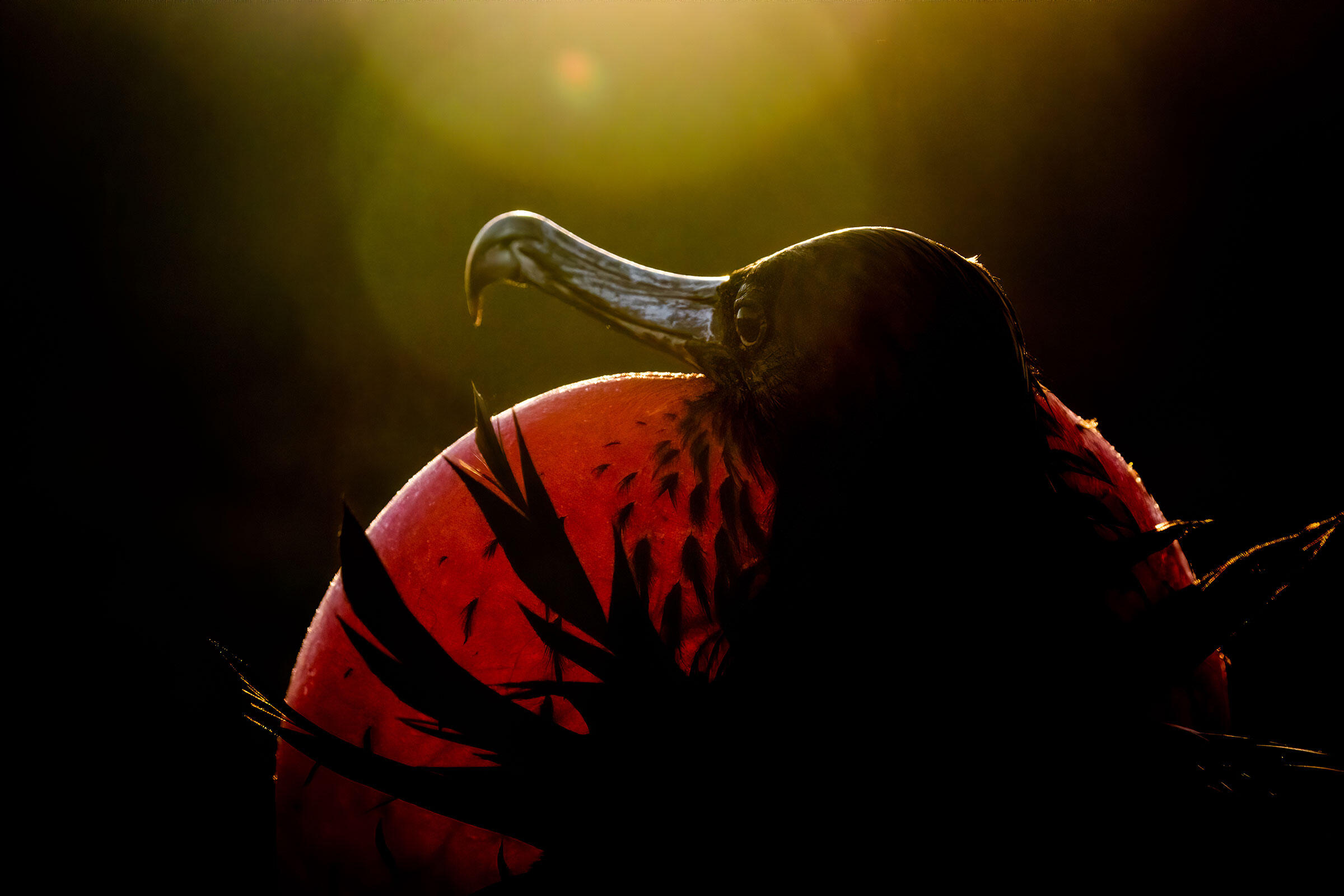 Magnificent Frigatebird, captured by 2020 winner Sue Dougherty.