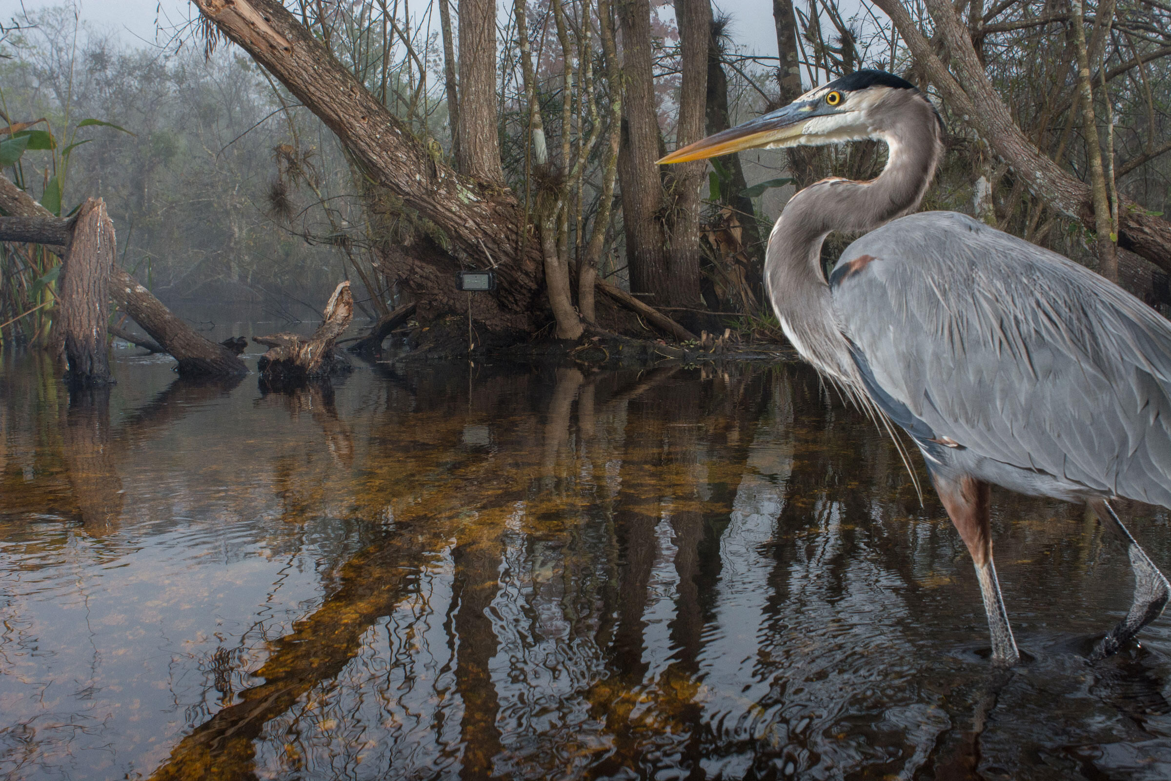 This is a picture of a Great Blue Heron. This is not a Florida Panther. Carlton Ward Jr.