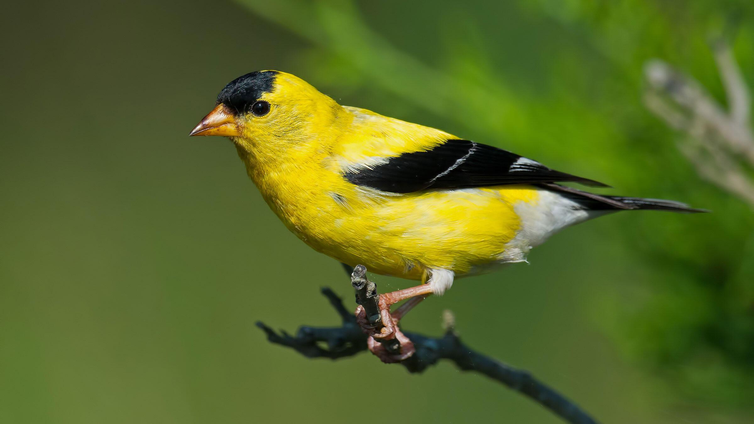 American Goldfinch. Brian Kushner