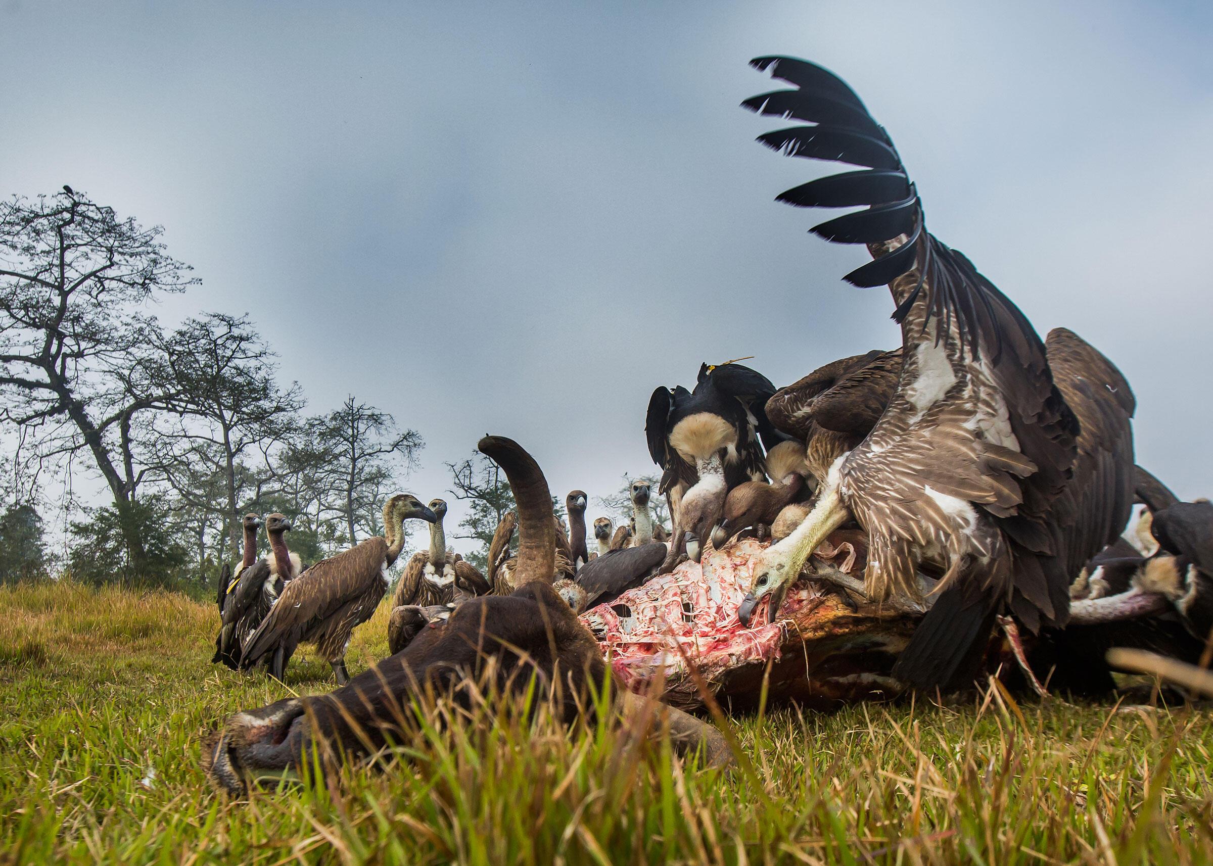 Vultures devour a carcass in Chitwan National Park, Nepal. Paul Hilton