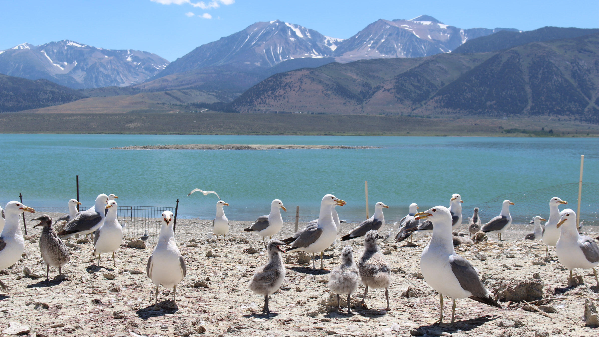 California Gulls nesting on the islets in the Mono Lake Basin. When water levels are up in spring and summer, the colonies are protected from predators on shore. Courtesy of Mono Lake Committee