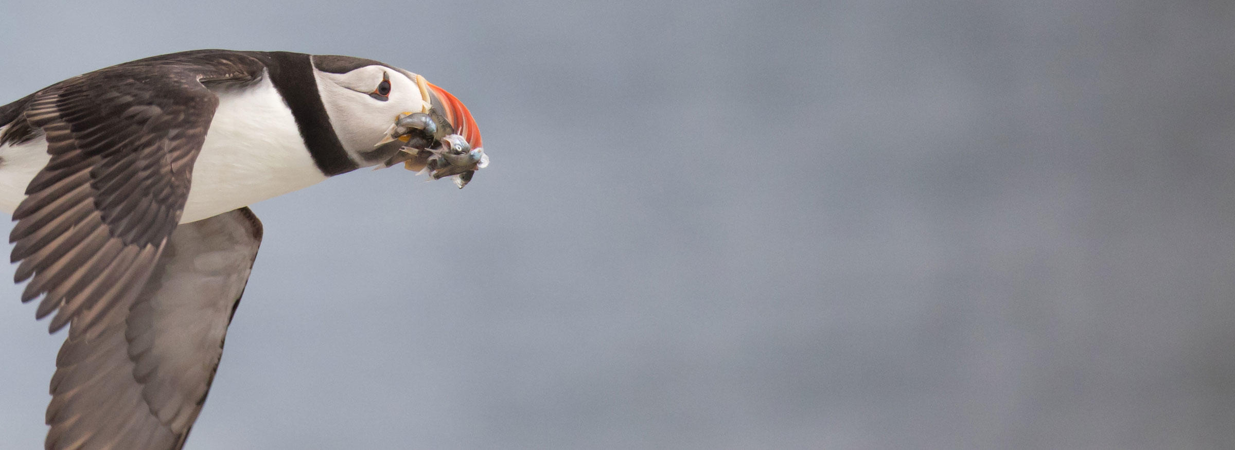 An adult Atlantic Puffin flies back to its nesting colony with a mouthful of Acadian redfish. Jean Hall