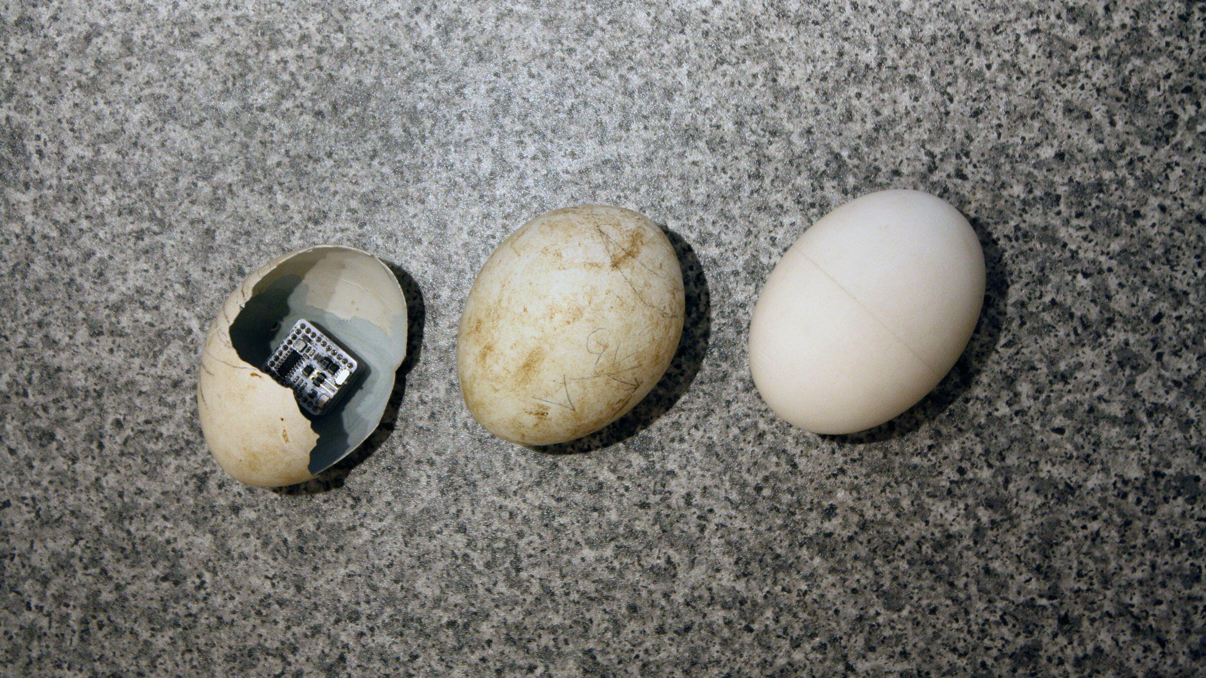 From left to right: A Griffon Vulture egg with an Arduino chip; a failed egg; an EggDuino prototype. Adam Bloch