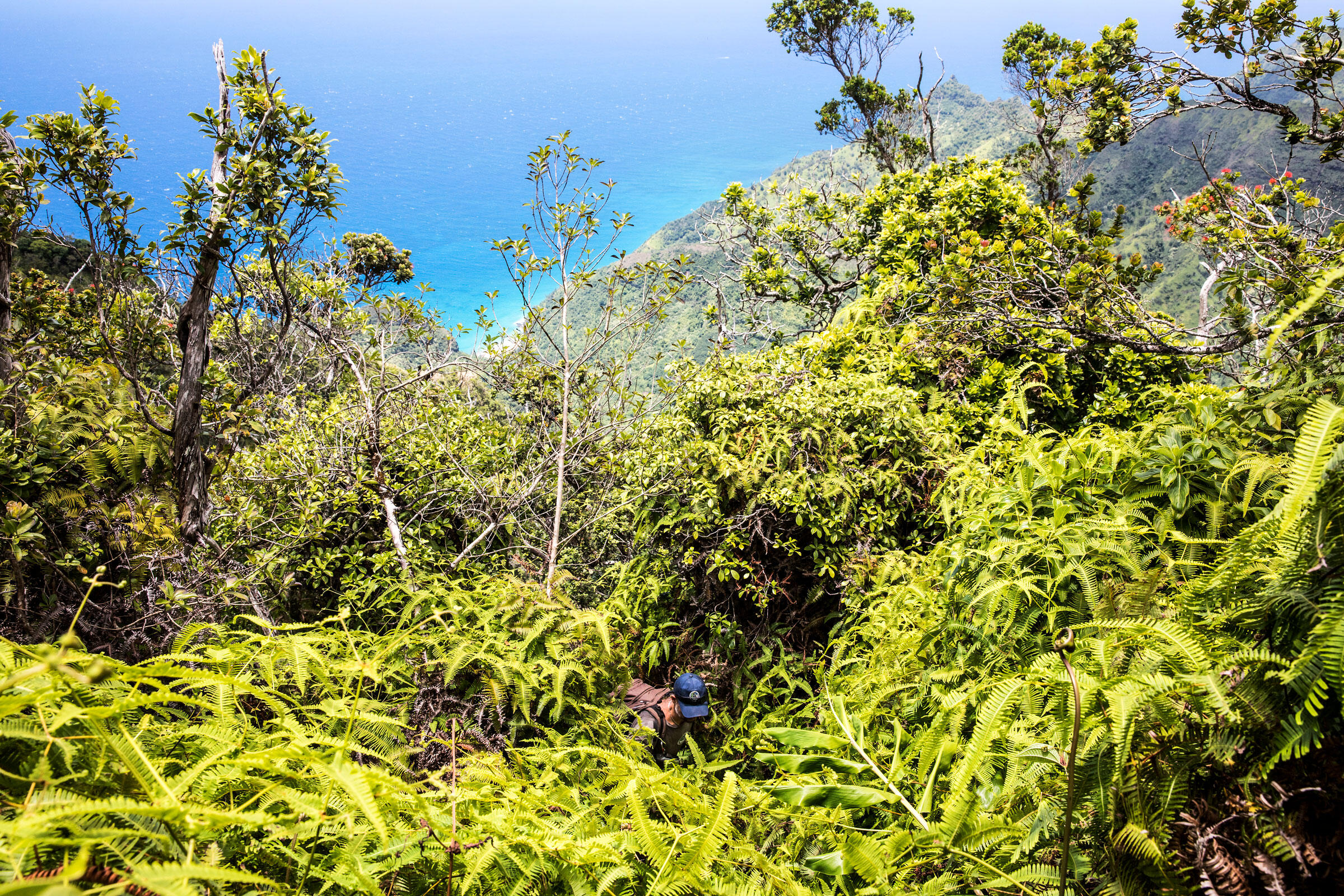 Andre Raine hikes through Hono O Nā Pali Natural Area Reserve to reach the nests of Newell's Shearwaters and Hawaiian Petrels. Tom Fowlks