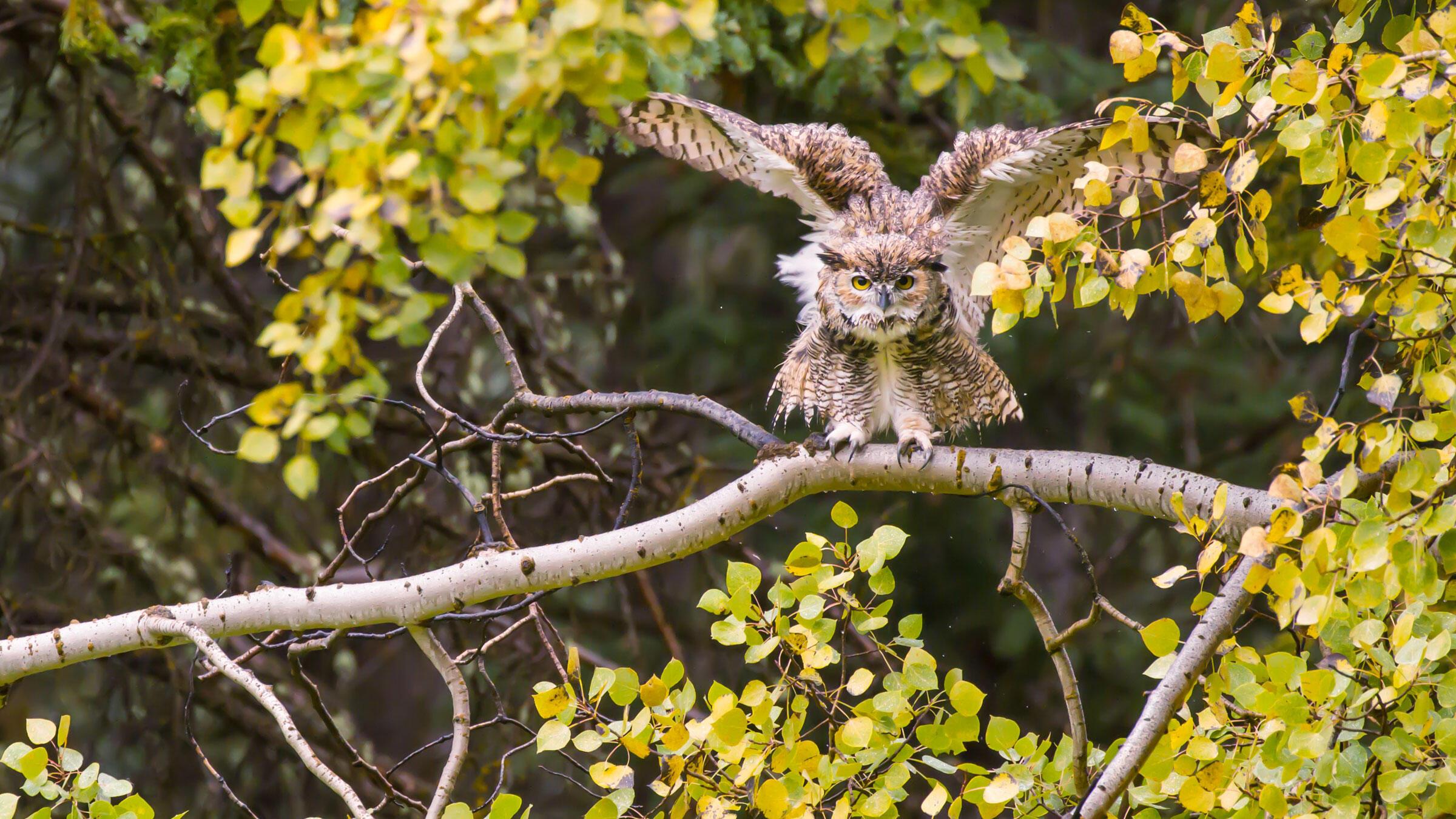 Great Horned Owl. Josh Metten/Audubon Photography Awards