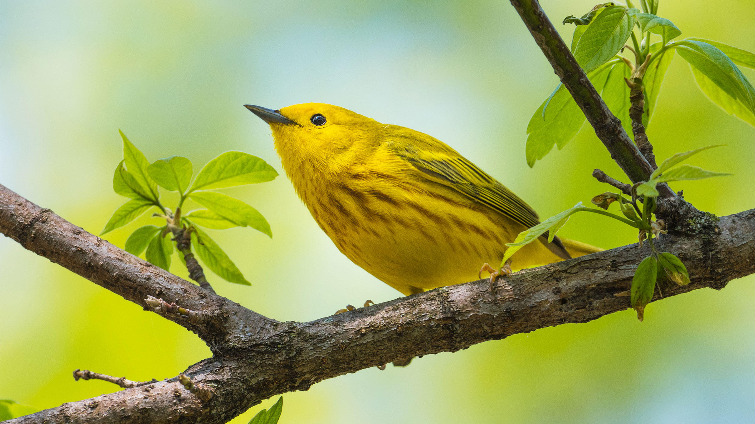 There are many yellow warblers, but Yellow Warblers are one of the most common and unmistakable with their spring plumage and song. Sheen Watkins/Audubon Photography Awards