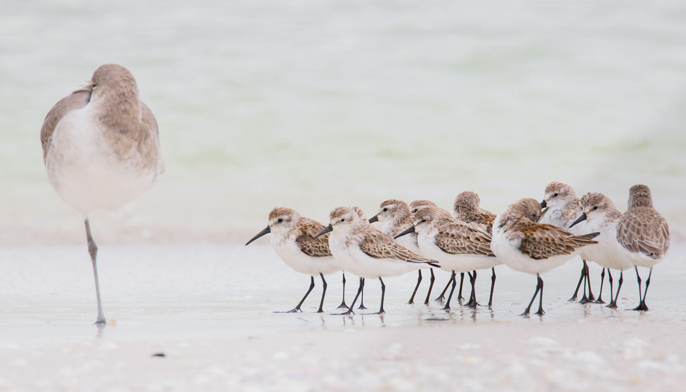 A Willet next to a flock of Western Sandpipers. Most North American shorebirds are already on course for fall migration. Jean Hall/Audubon Photography Awards
