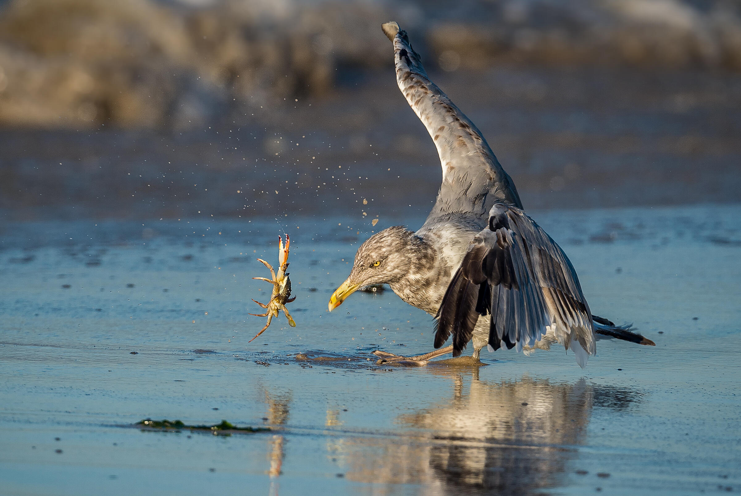 Herring Gull. Stan Bysshe/Audubon Photography Awards