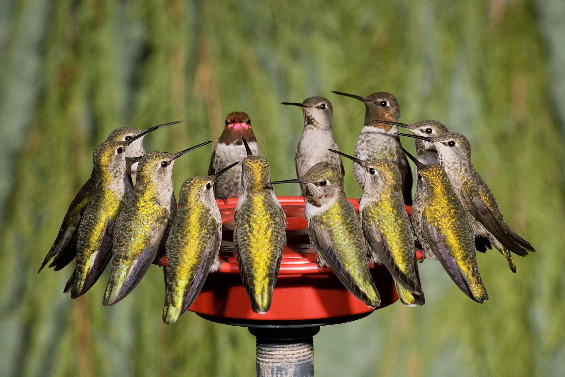 Male and female Anna's Hummingbirds crowd a feeder to refuel. Charles Melton/Alamy