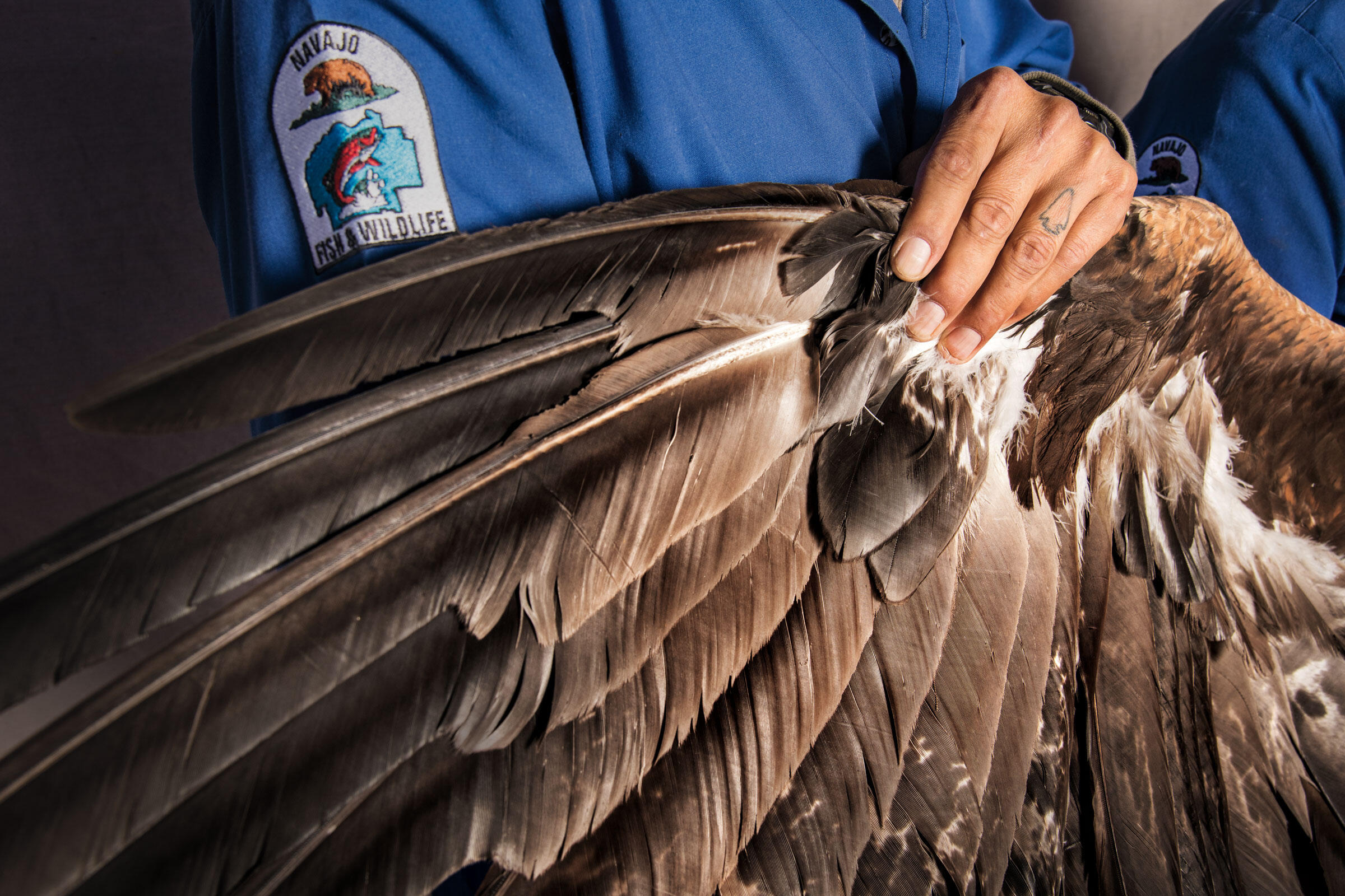 A Navajo Nation tribal aviary assistant spreads the wing of a captive Golden Eagle. In Native American cultures, eagle feathers—worth thousands on the black market—lift prayers to the heavens. Dawn Kish