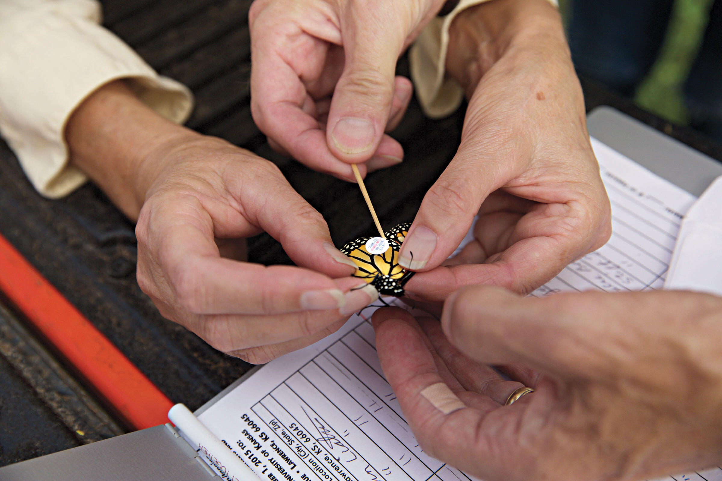 Volunteers at Goose Pond Sanctuary north of Madison, Wisconsin, gently use a toothpick to tag a monarch before releasing it for fall migration. Arlene Koziol