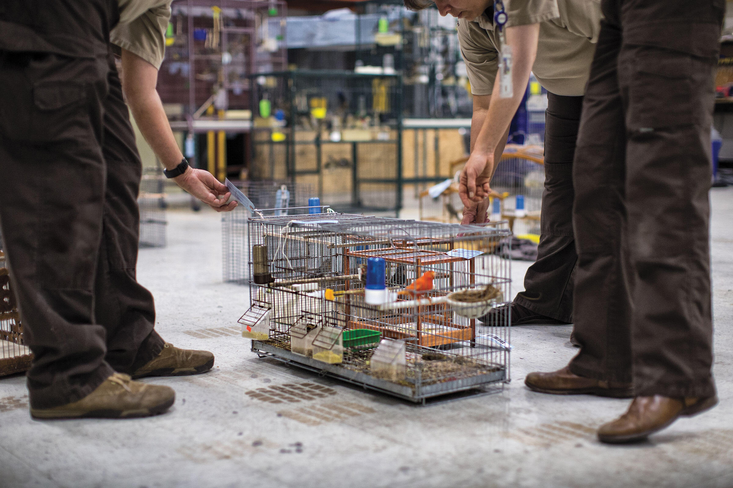 Wildlife agents working undercover seized more than 400 birds from traffickers in the Miami area during the course of Operation Ornery Birds. The birds received clean cages and care until the healthiest could be released back into the wild. Karine Aigner