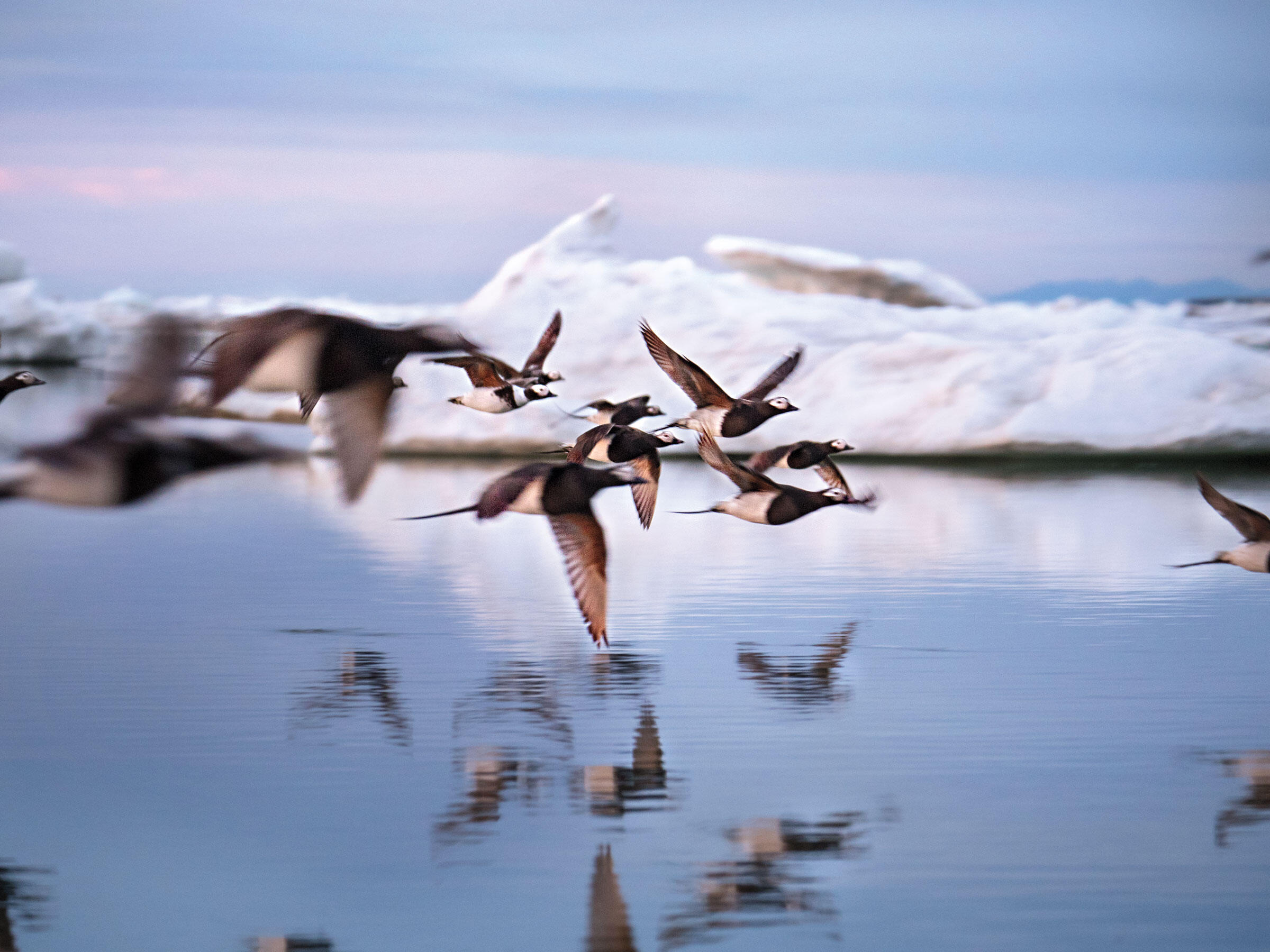 A flock of Long-tailed Ducks skims over the Arctic Ocean off the coast of the refuge. During summer the especially vocal species is abundant in the high Arctic, where it breeds. Peter Mather
