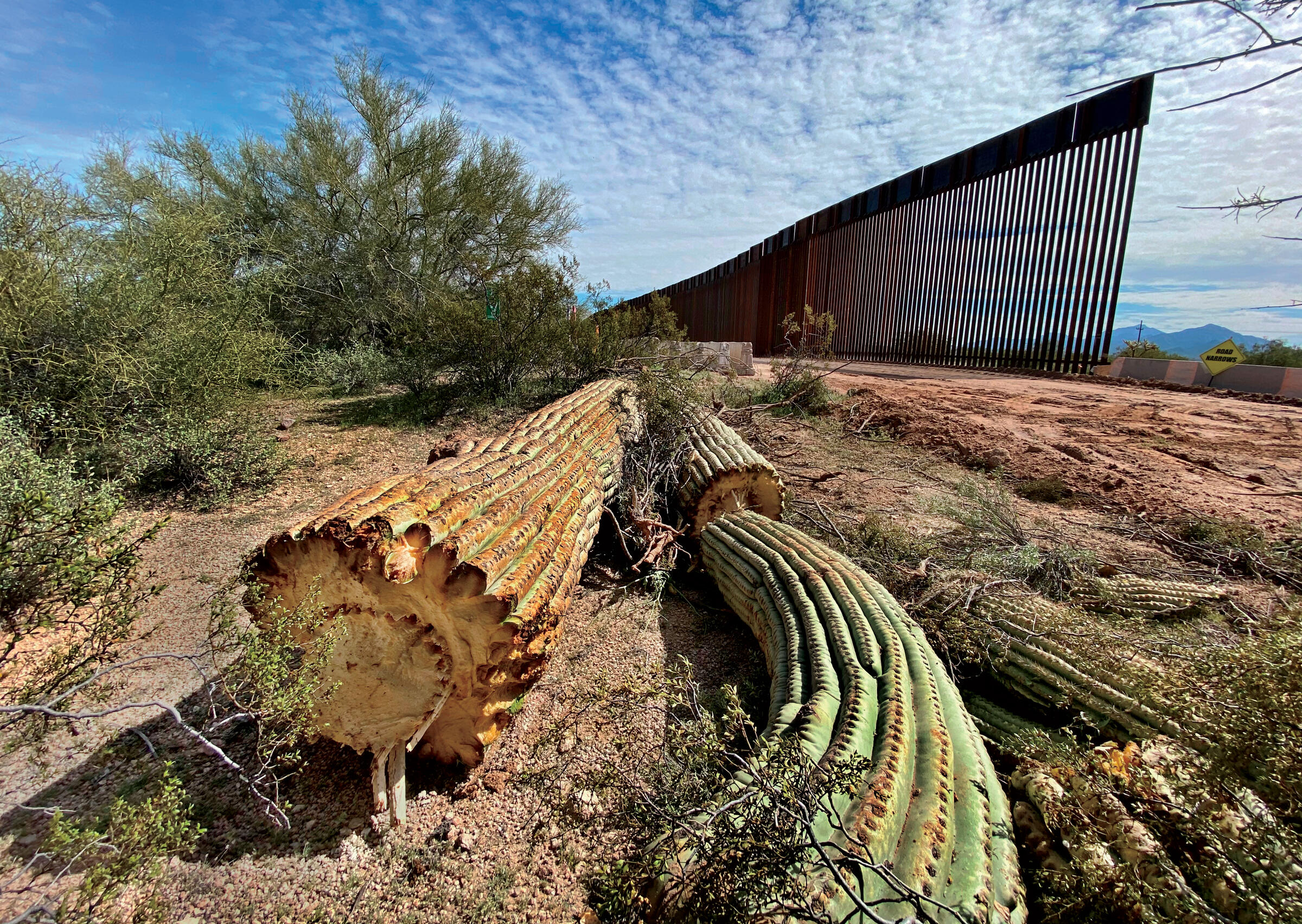 One of the saguaro cacti destroyed at Organ Pipe Cactus National Monument to make way for the border wall. Laiken Jordahl