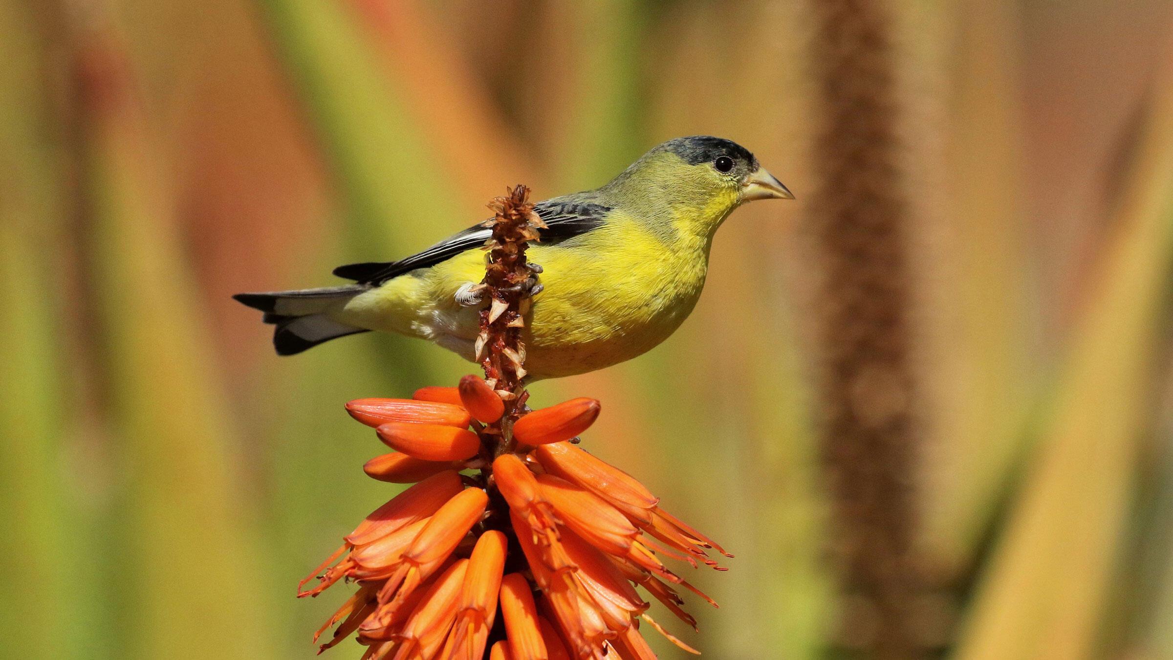 Lesser Goldfinch. Chris Orr/Great Backyard Bird Count