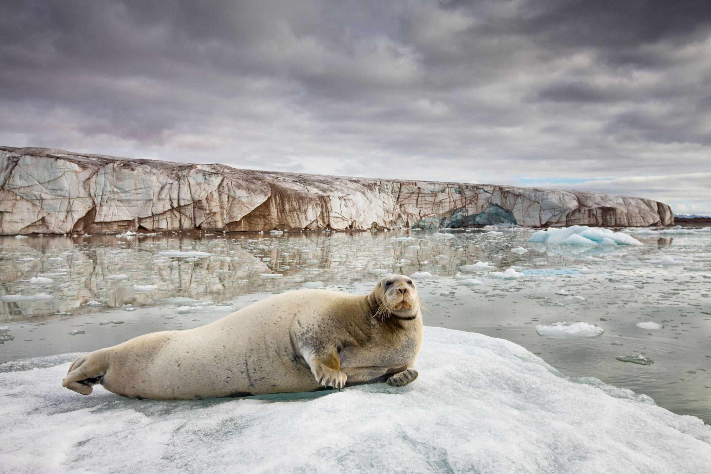 Despite healthy populations today, bearded seals have protection under the Endangered Species Act because of the future threat of climate change. WorldFoto/Alamy