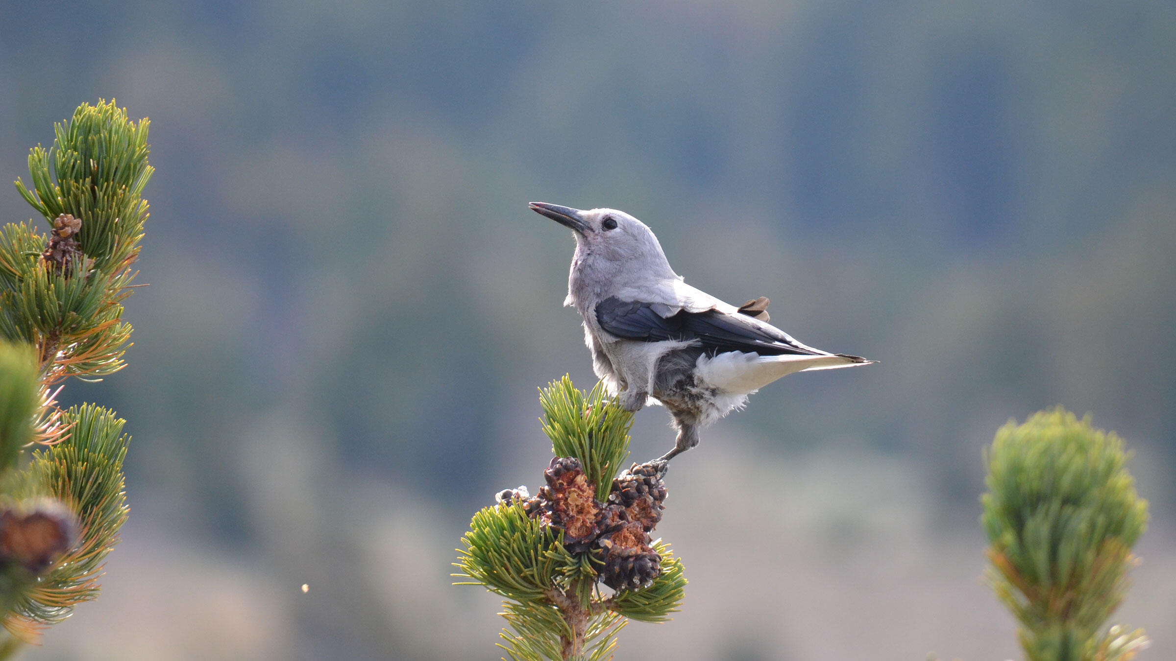 No bird dismantles pinecones like a Clark's Nutcracker, which leaves chipped craters behind. LassenNPS