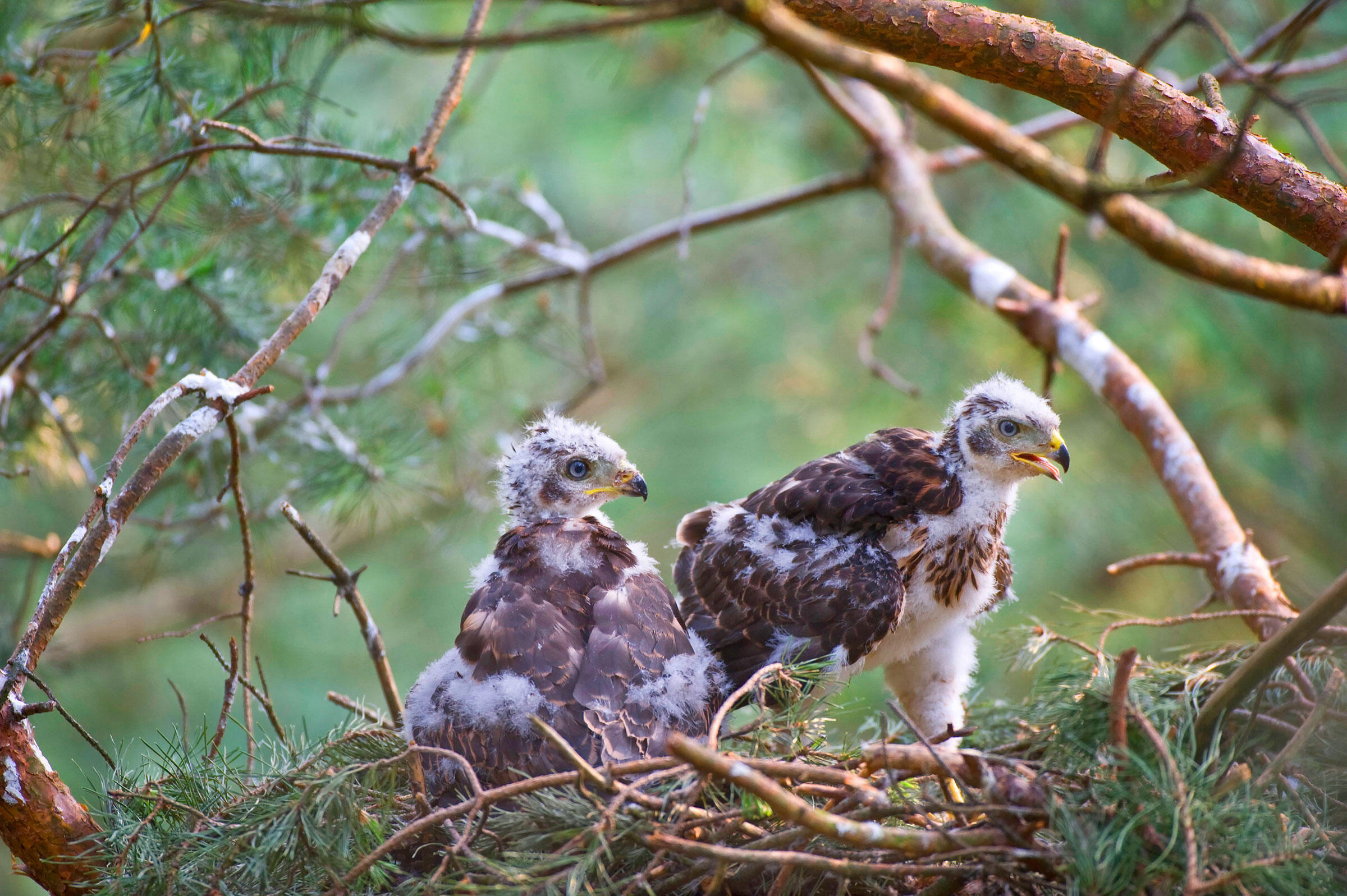 A pair of Northern Goshawk chicks waits for the next nest delivery from their parents. Blickwinkel/Alamy