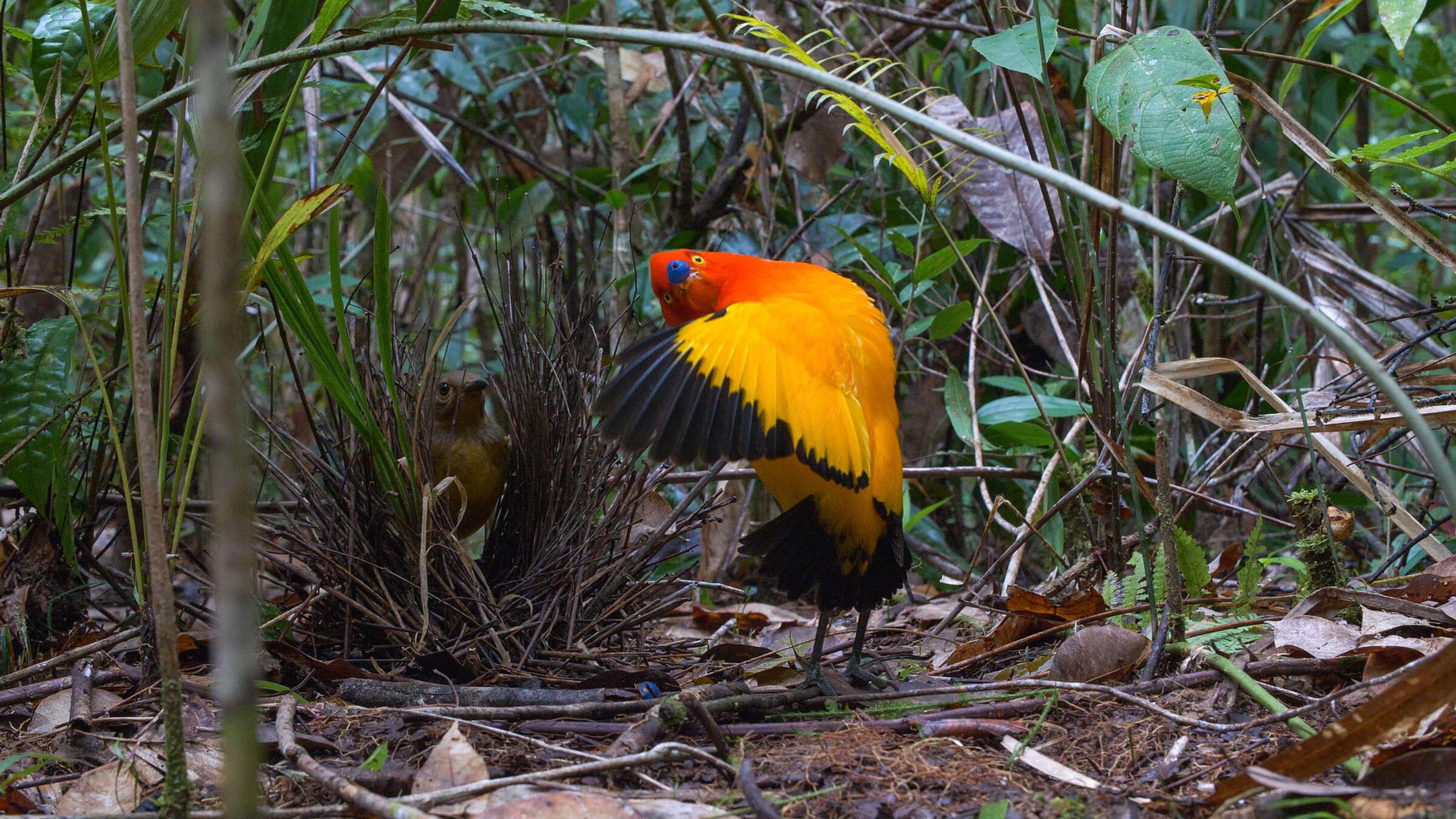 Flame Bowerbirds. Courtesy of <em>Dancing with the Birds</em>