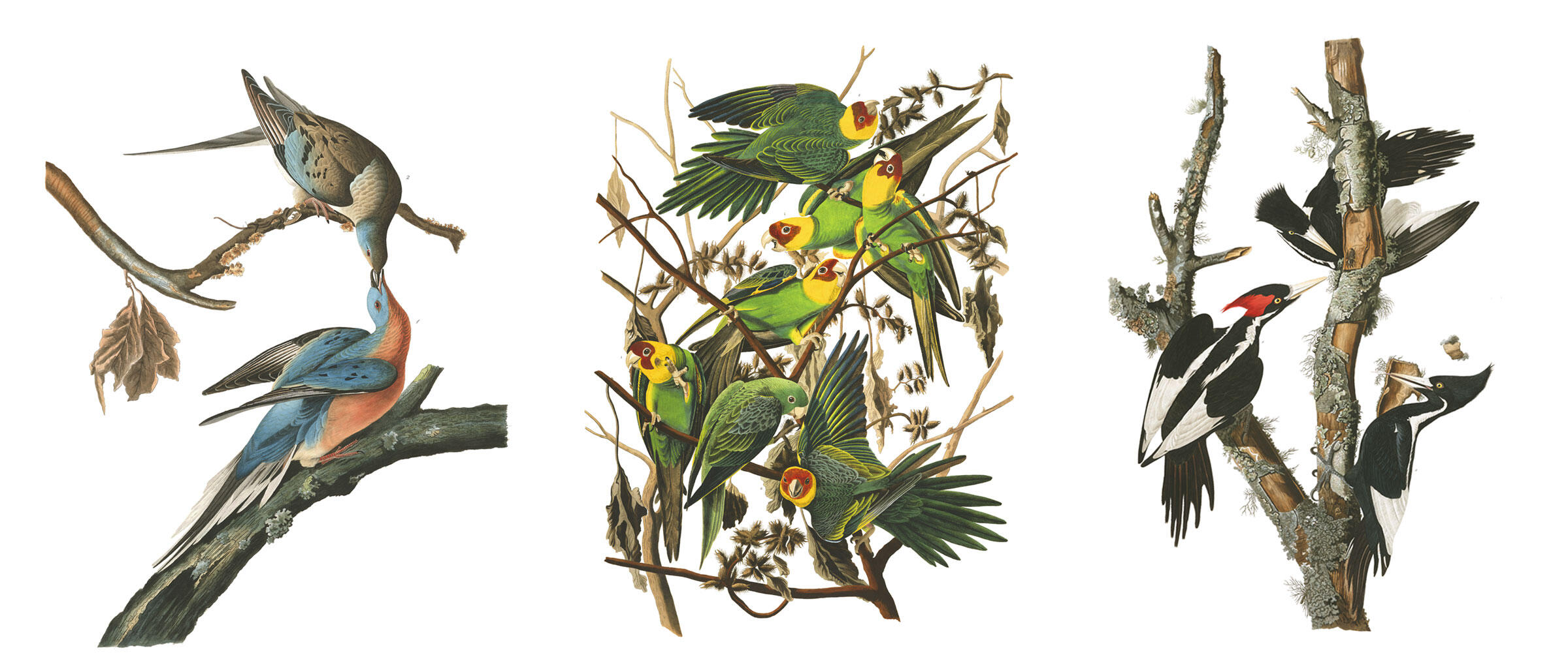 Passenger Pigeons, Carolina Parakeets, and Ivory-billed Woodpeckers—all birds now considered extinct. Illustrations: John James Audubon