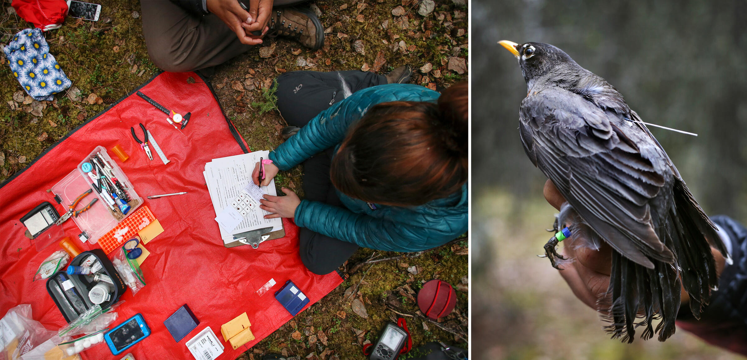 Emily Williams, a former biologist at Alaska's Denali National Park, takes notes along with one of her colleagues (left). A captured American Robin with GPS tag attached (right). Photos: Emily Mesner/NPS