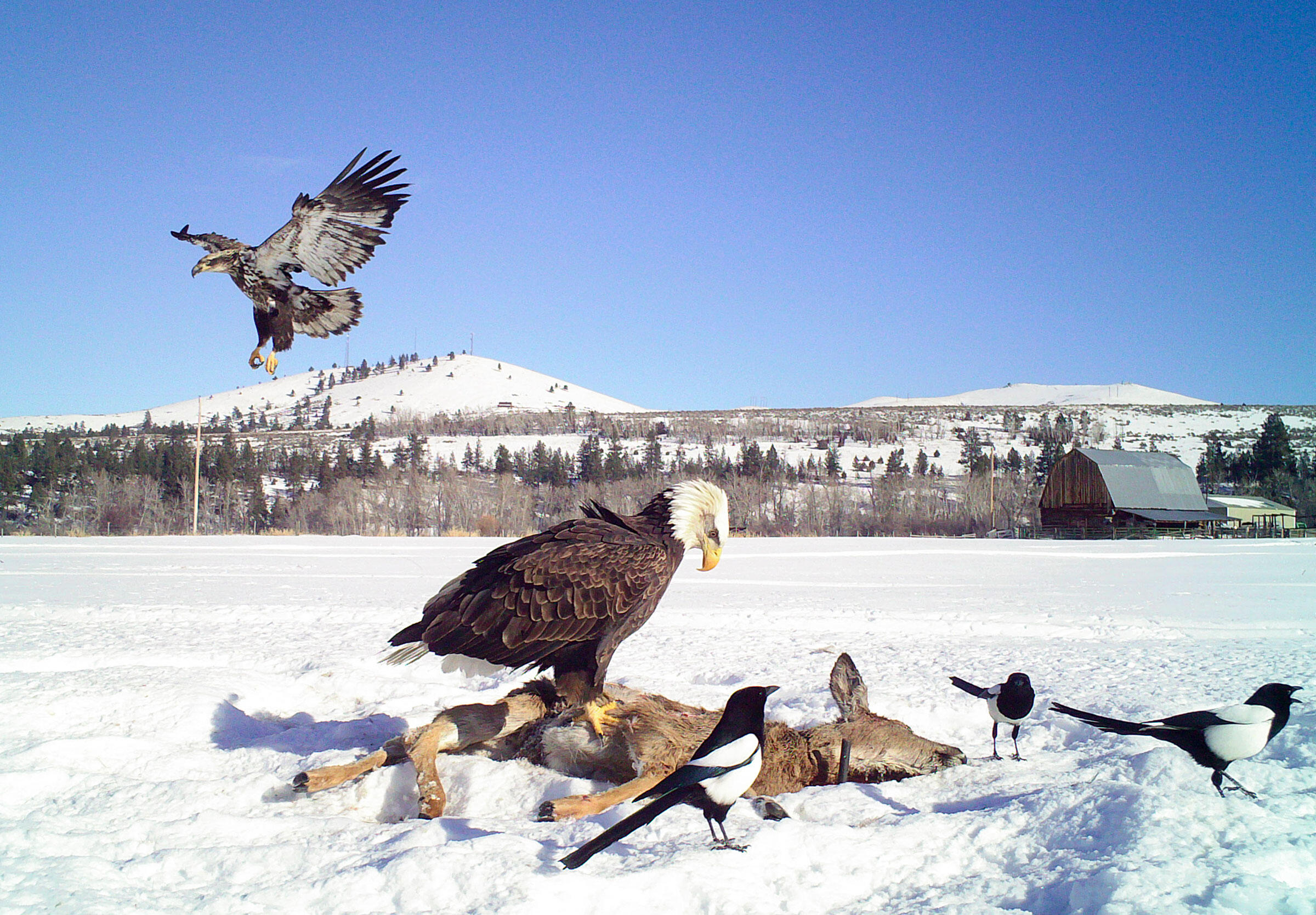 Bald Eagles and magpies feast on a deer carcass at a camera-trap station in Montana's Bitterroot Valley. Bitterroot Valley Winter Eagle Project