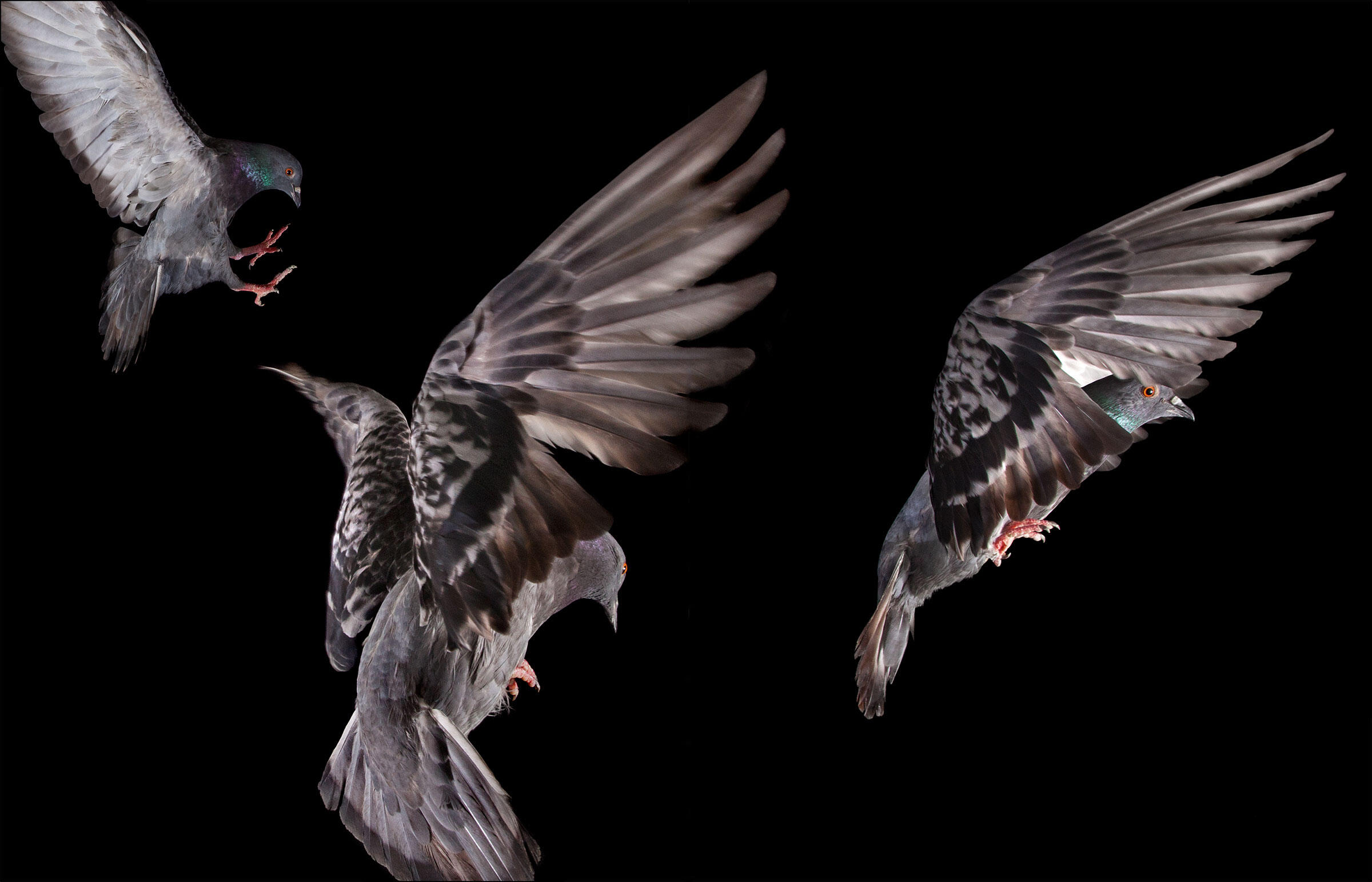 Why Pigeons Clap Their Wings How Wing Clapping Works Audubon Get_appclick here to download as mp3 (5.11 mb). why pigeons clap their wings how