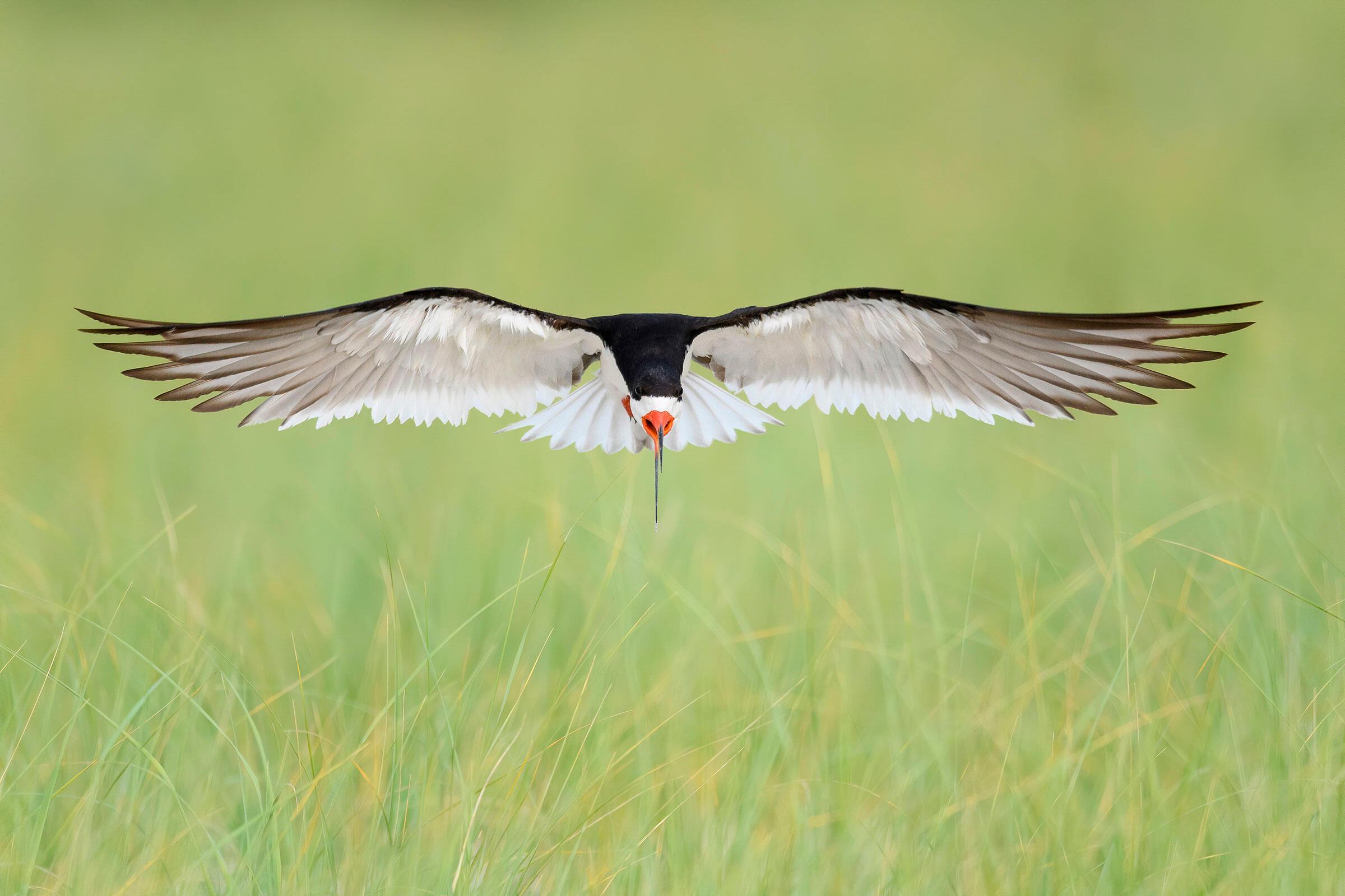 Black Skimmer. Ann Pacheco/Audubon Photography Awards
