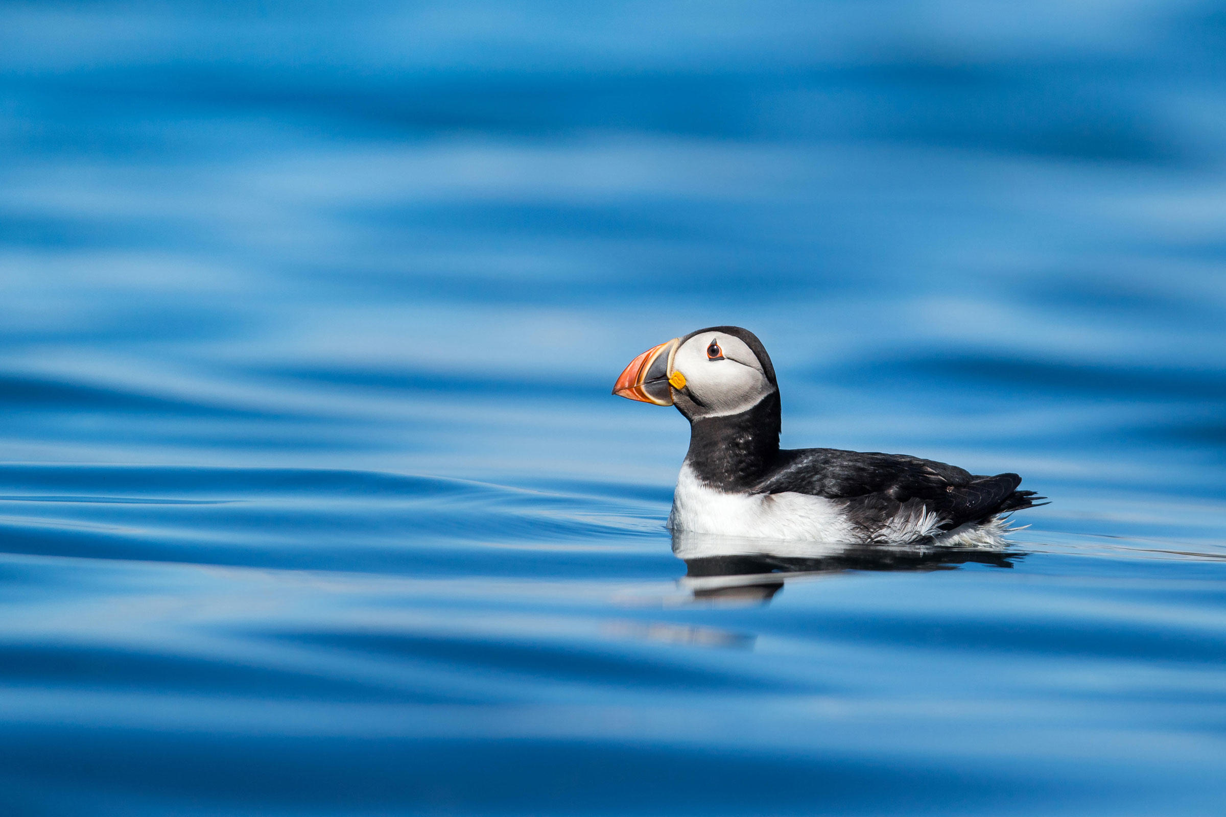 Atlantic Puffin winter in and around the Northeast Canyons and Seamounts Marine National Monument. Drew Buckley/Alamy