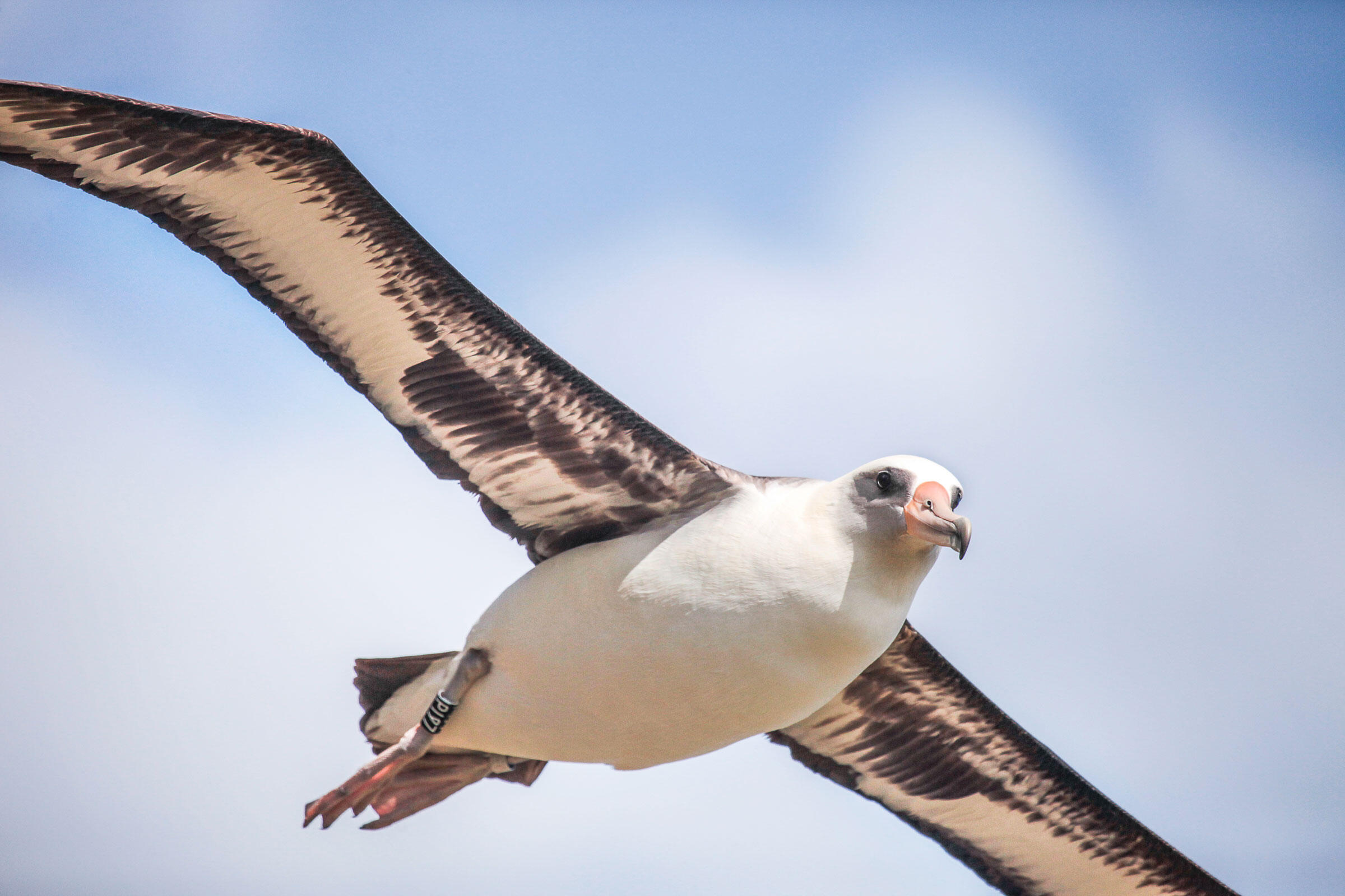 This Laysan Albatross was banded at Hawaii's Pacific Missile Range Facility, where birds nest dangerously close to to a U.S. Navy runway. Kim Steutermann Rogers