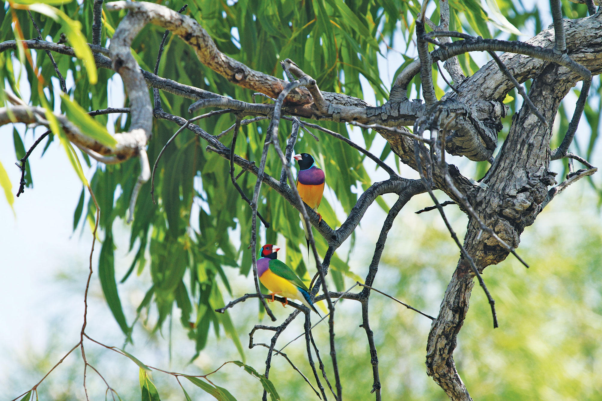 Two male Gouldian Finches spotted on the Dampier Peninsula of Australia's Kimberley region. Alexander Watson/WWF-Australia