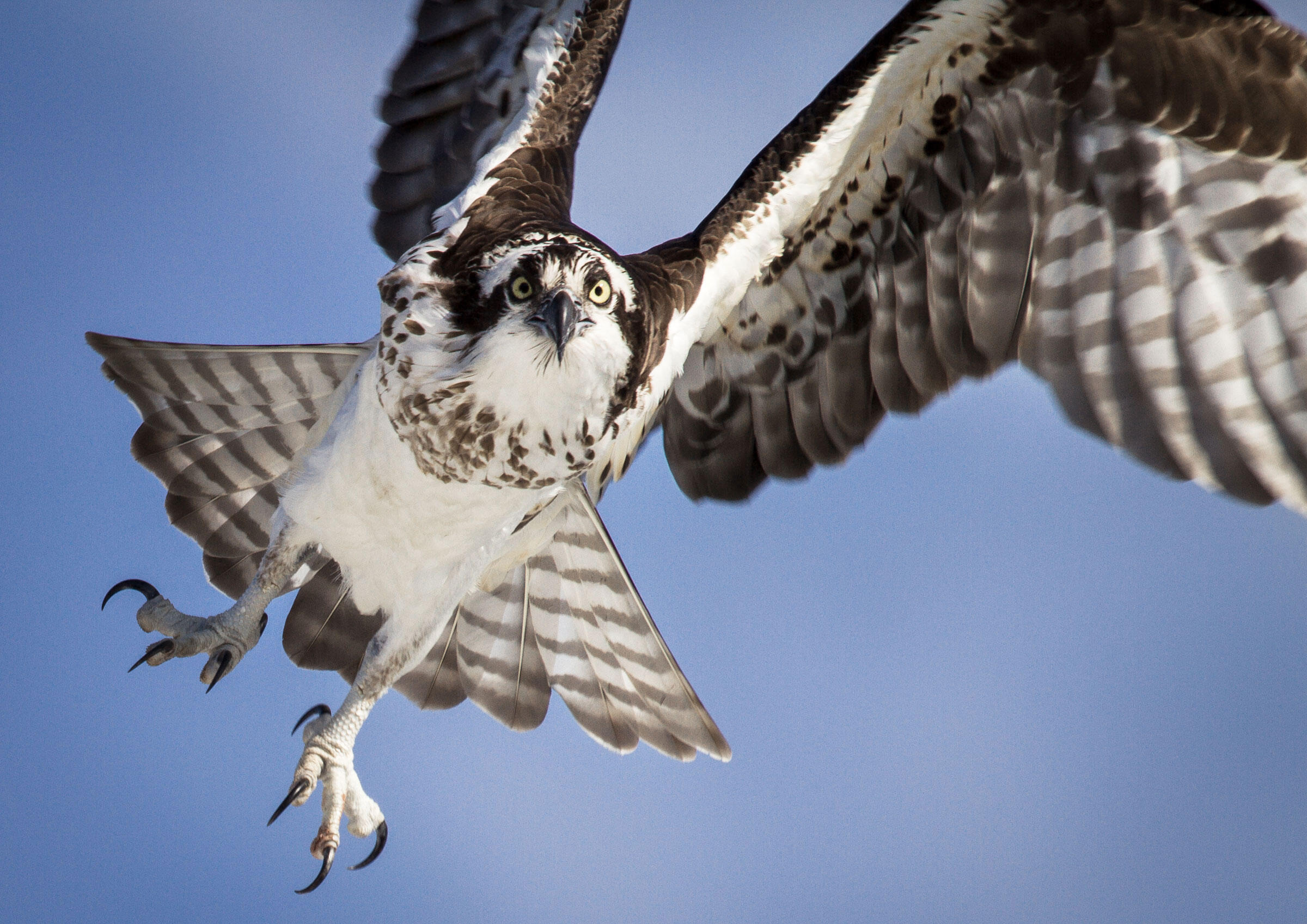 An Osprey's raw power and massive talons are qualities perfectly adapted to pluck a live fish from water and lift off again. C. Goshert/Great Backyard Bird Count