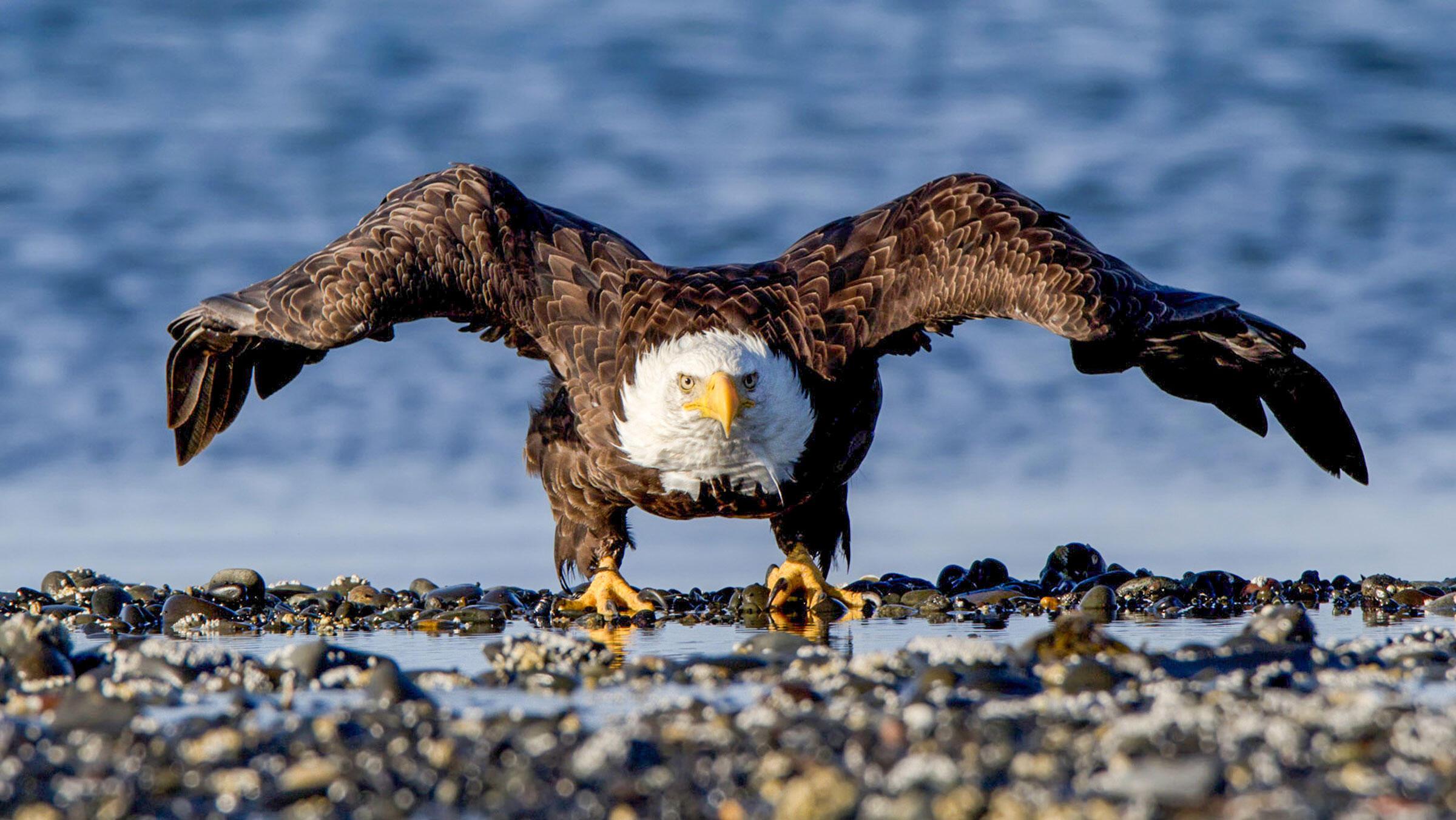 Bald Eagle. Jean Hall/Audubon Photography Awards