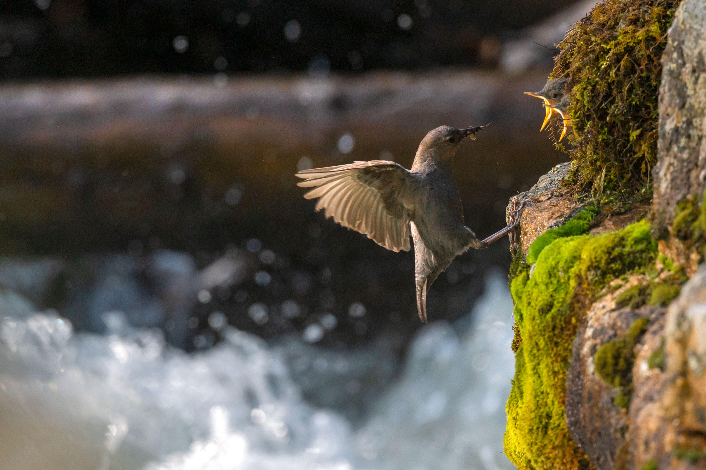 An American Dipper leaps from the rushing water below to feed its young in Rocky Mountain National Park. Michael Forsberg