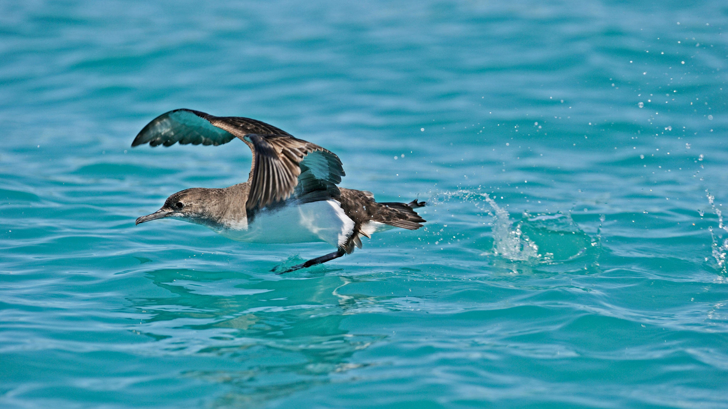 A Hutton's Shearwater takes off near Kaikoura, New Zealand, where a 7.8-magnitude earthquake triggered landslides last week. David Tipling Photo Library/Alamy