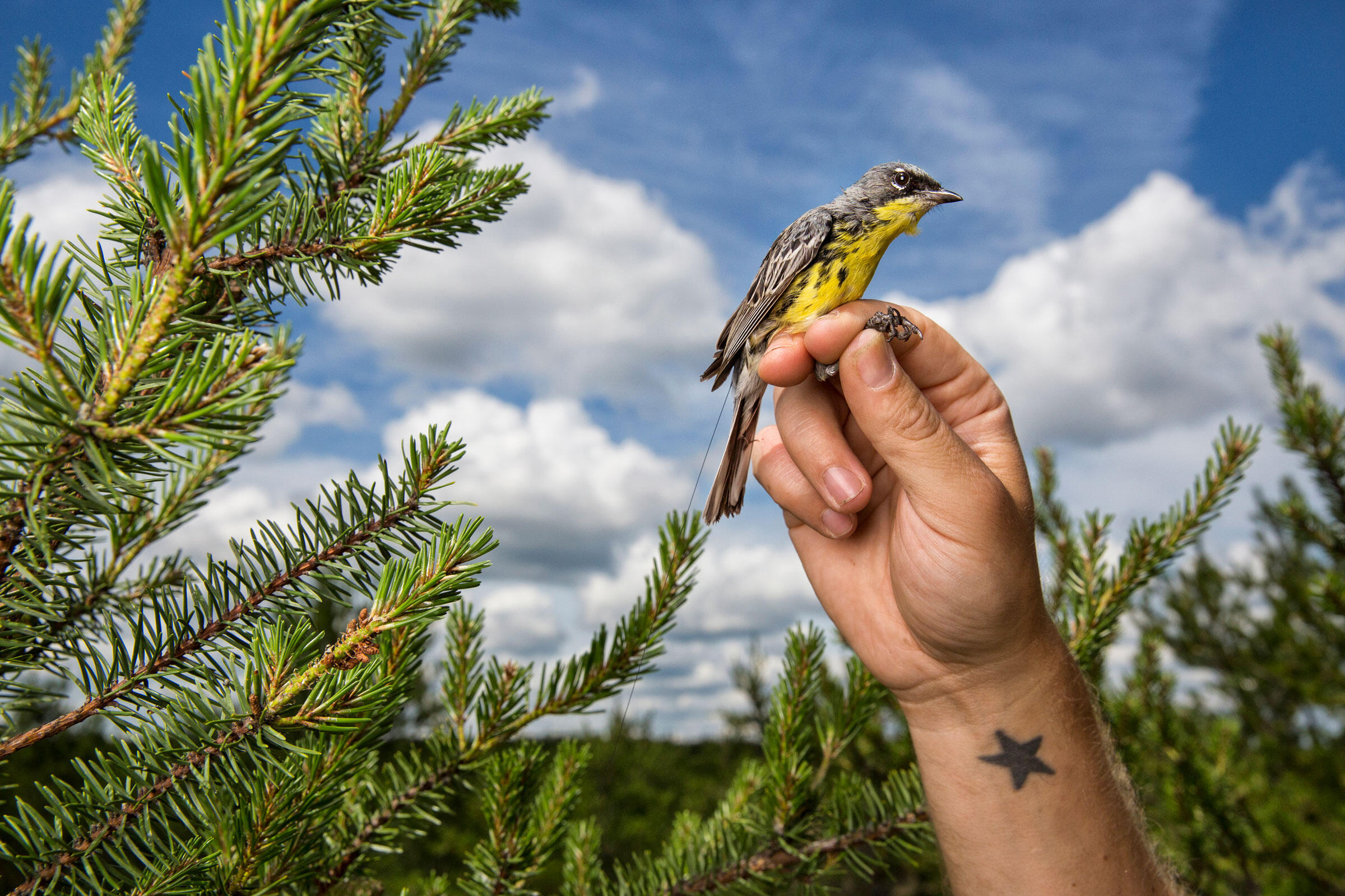 A previously tagged Kirtland's Warbler is captured in its jack pine breeding habitat in Michigan. A little transmitter on its back holds information on where the bird has been from August to May. Karine Aigner