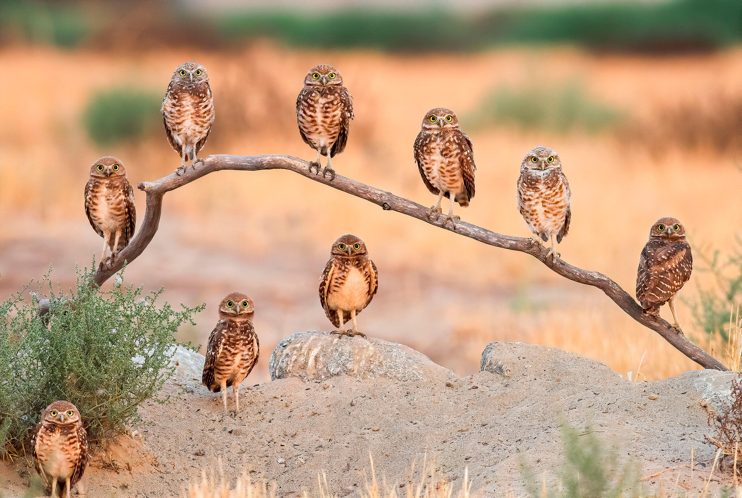 Burrowing Owls. Andrew Lee/Audubon Photography Awards